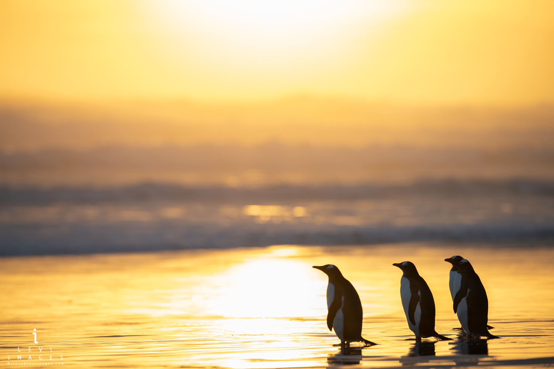 Gentoo penguins (Pygoscelis papua) at beach bathed in sunset light. Volunteer Point, Falkland Islands