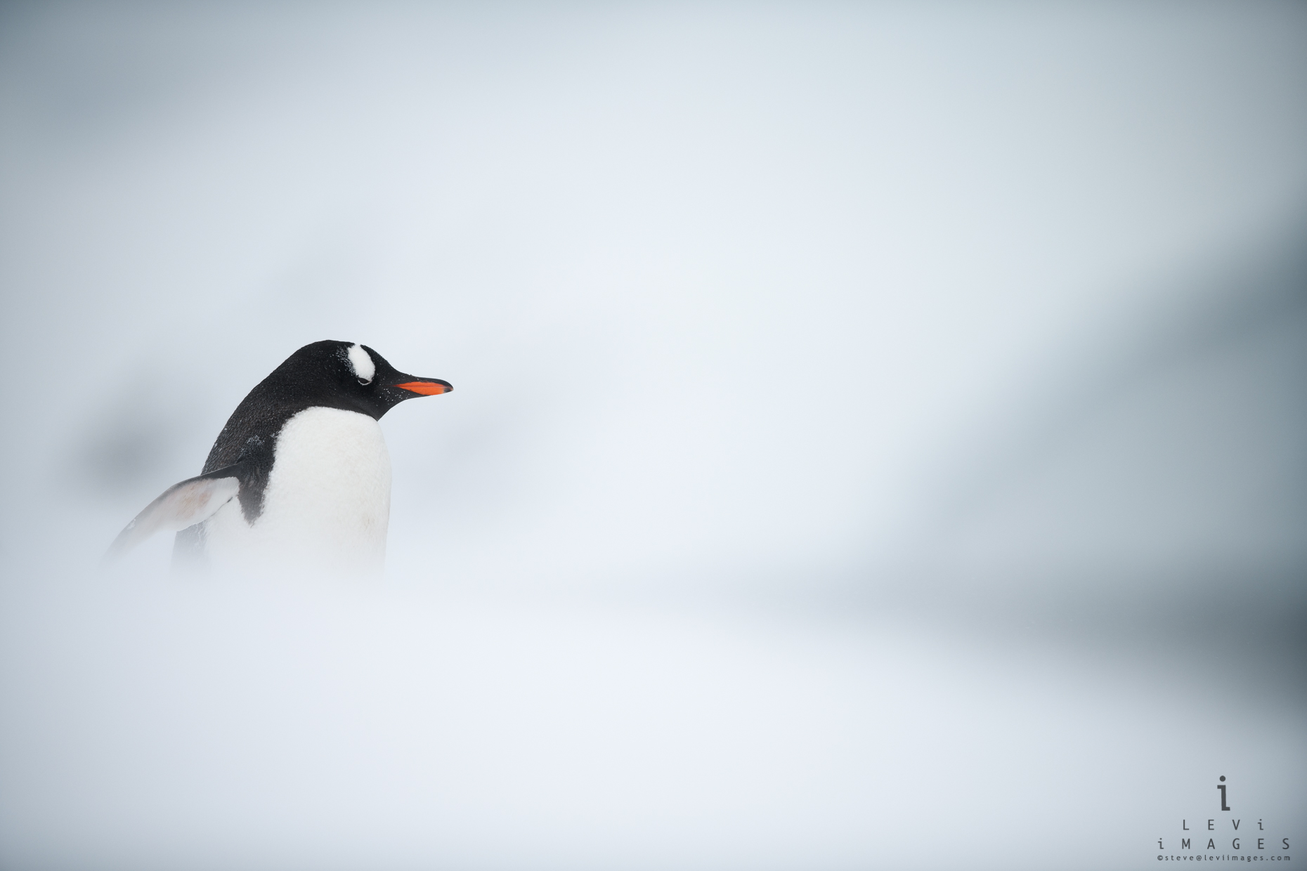 Gentoo penguin  (Pygoscelis papua) in white-out.  Mikkelsen Bay, Antarctica
