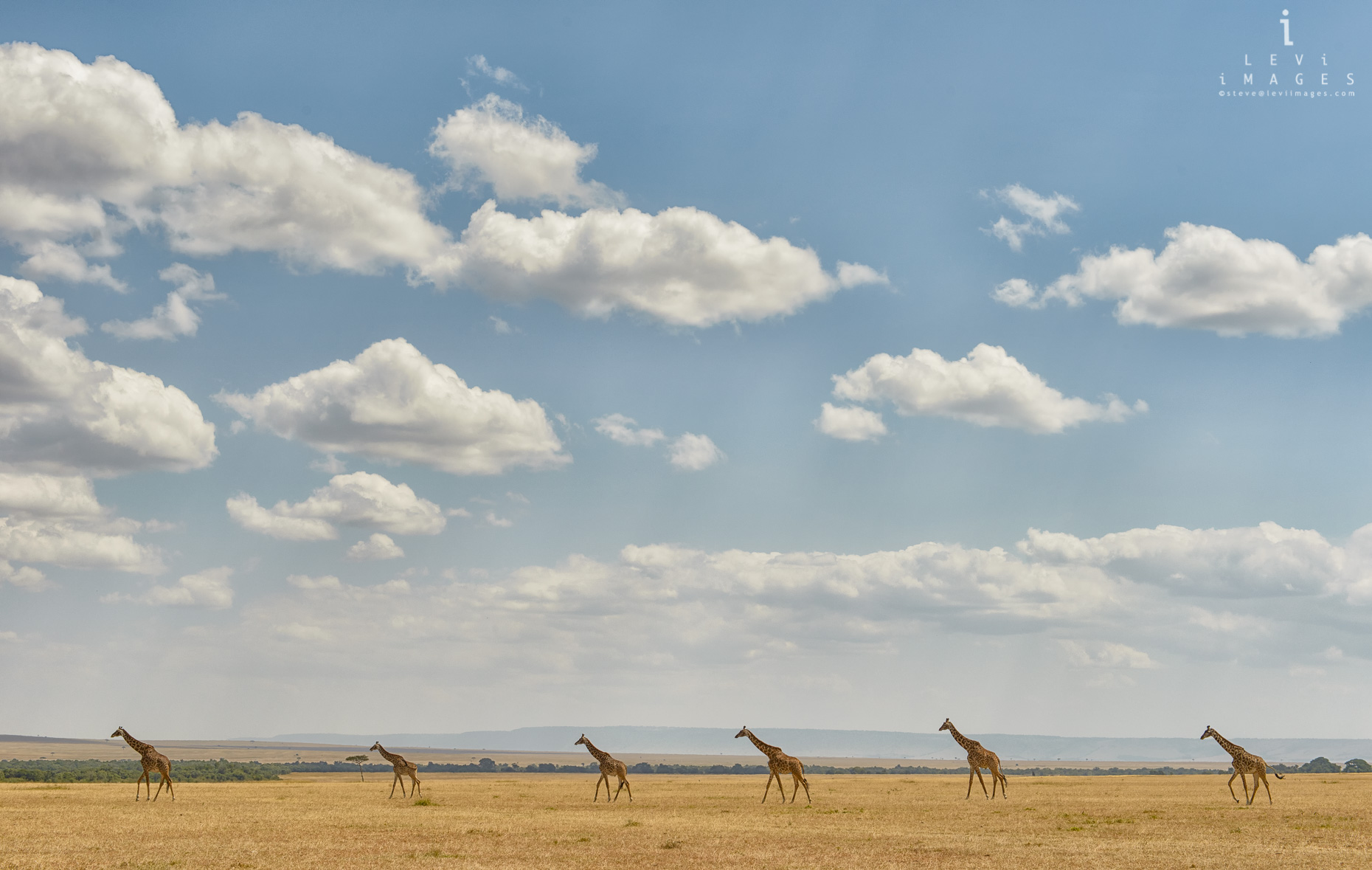 Giraffes (Giraffa), equally-spaced, traverse African savannah