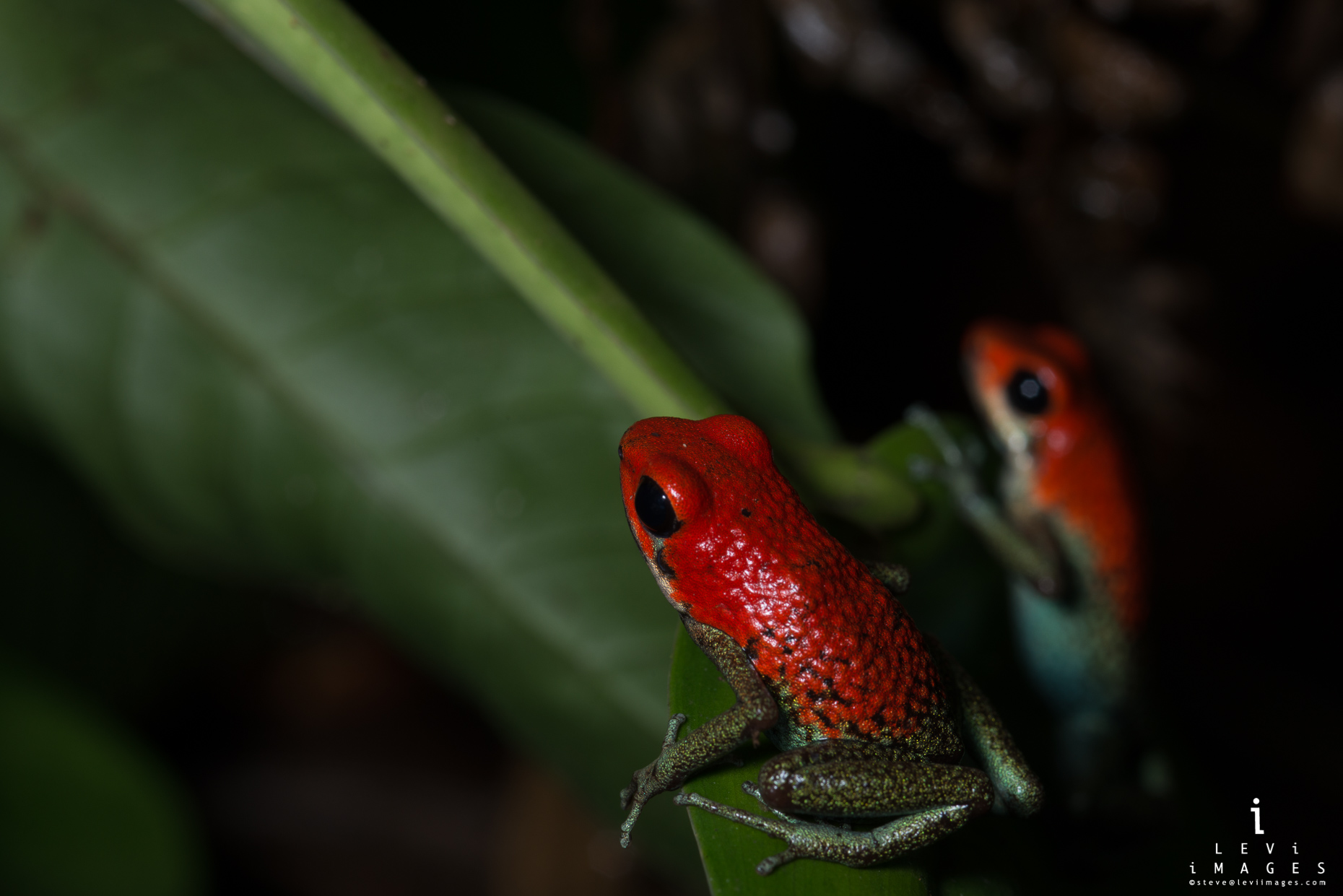 Two granular poison frogs (Oophaga granulifera) on leaf. Osa Penisula, Costa Rica