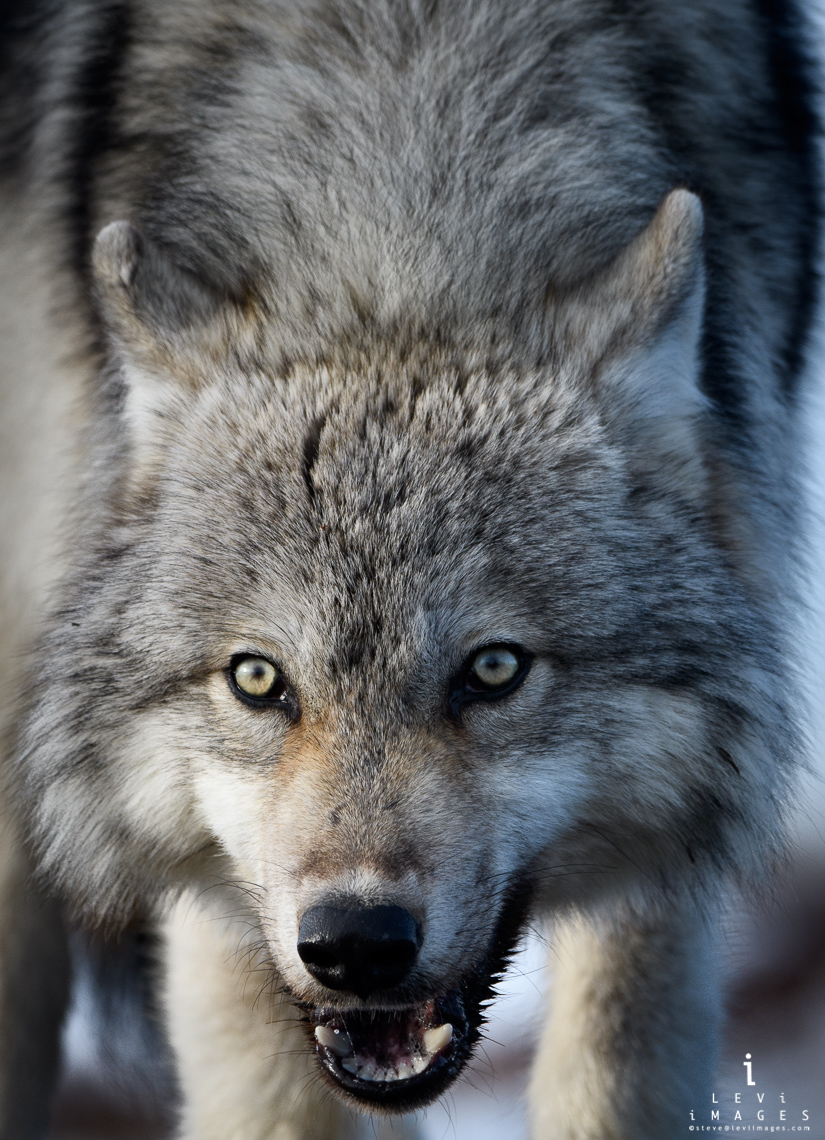 Gray Wolf (Canis lupus) low-angle close-up - vertical. Manitoba, Canada