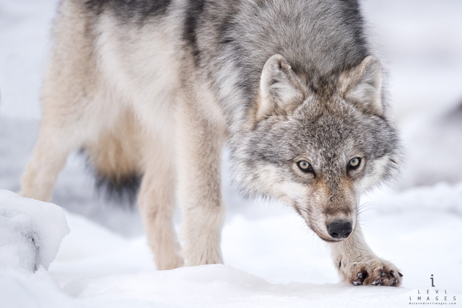 Gray Wolf (Canis lupus) on snow. Hudson Bay, Manitoba, Canada