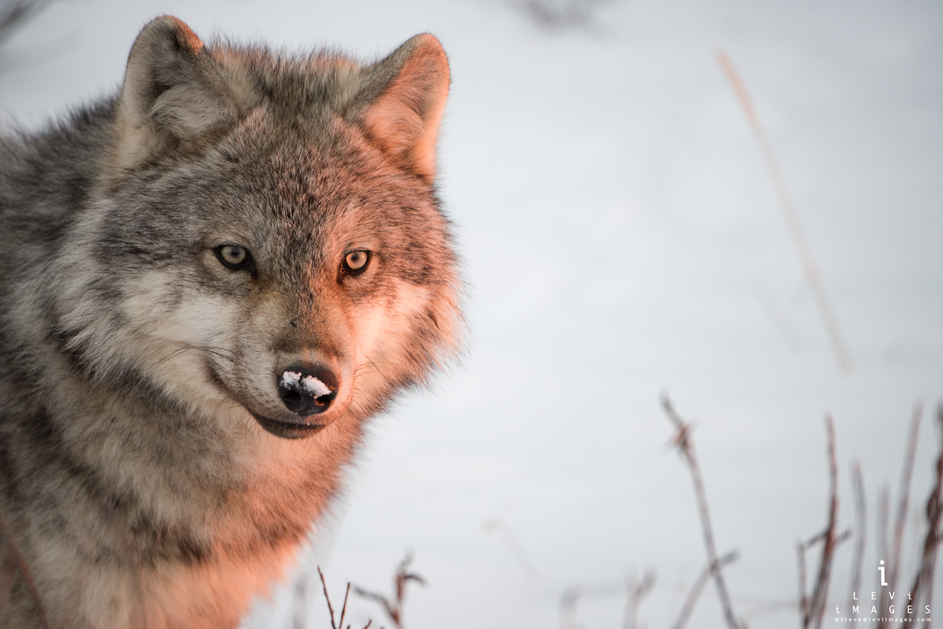 Gray Wolf (Canis lupus) at dusk. Hudson Bay, Canada
