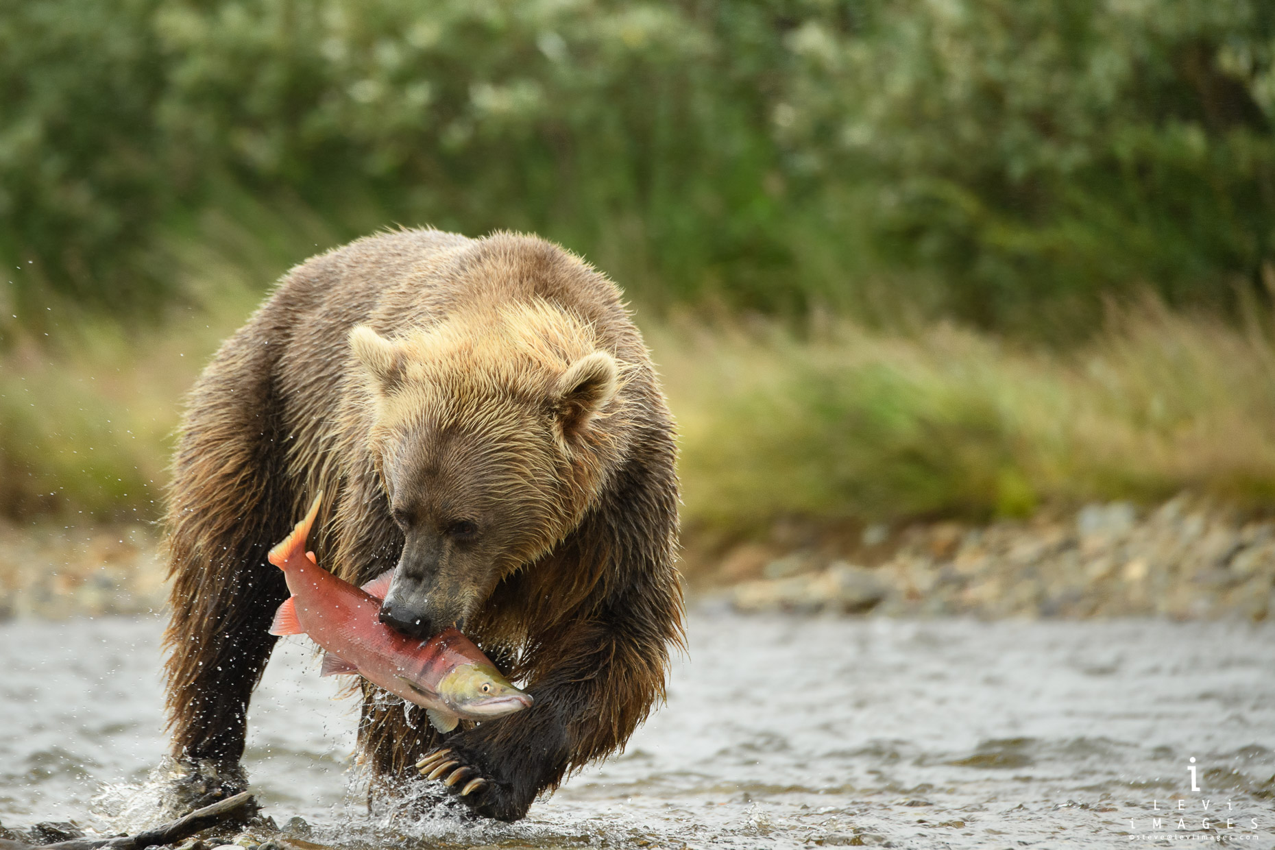 Brown bear (Ursus arctos) with fish in mouth walks to shore. Katmai, Alaska
