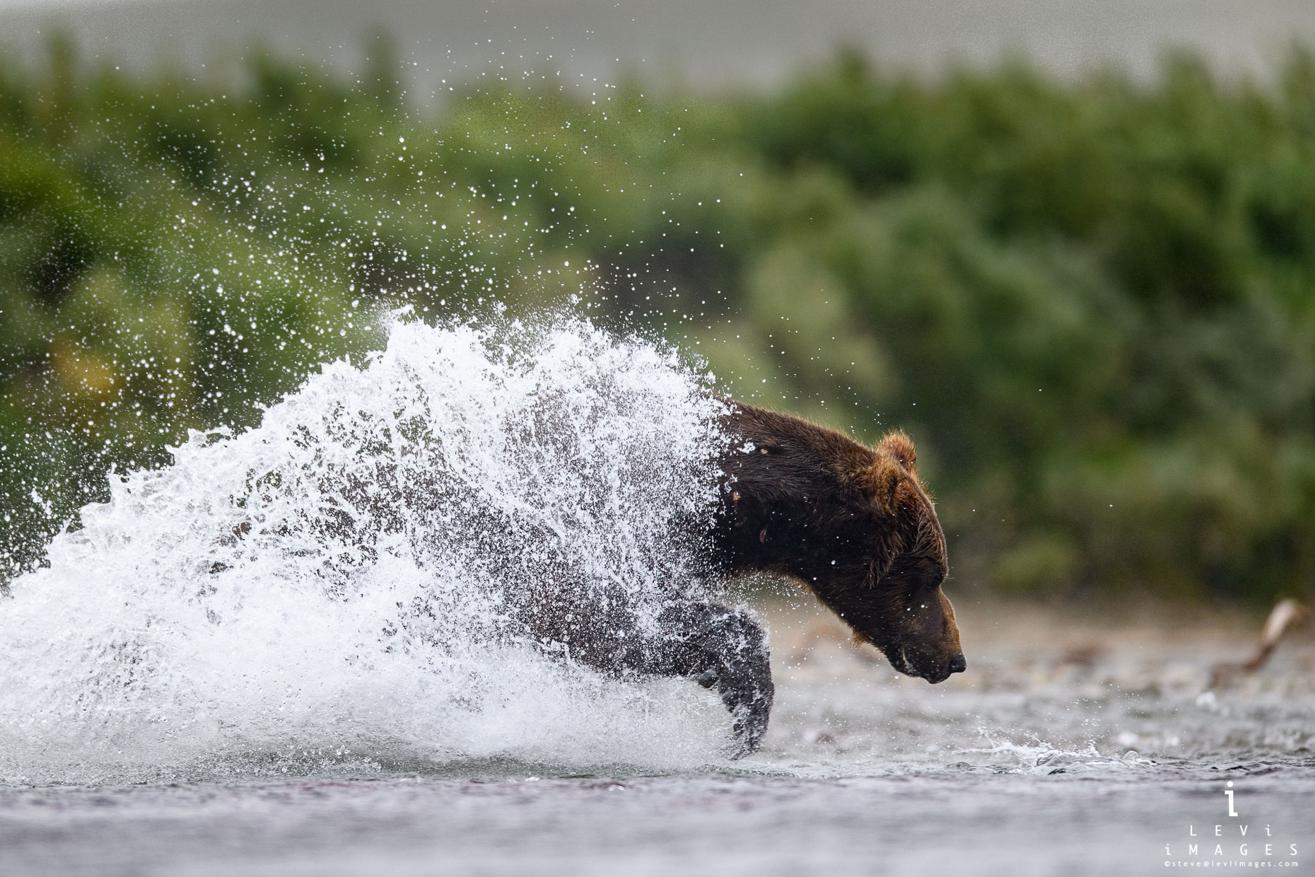 A coat of water envelopes a brown bear (Ursus arctos) as it surges for a fish. Katmai, Alaska