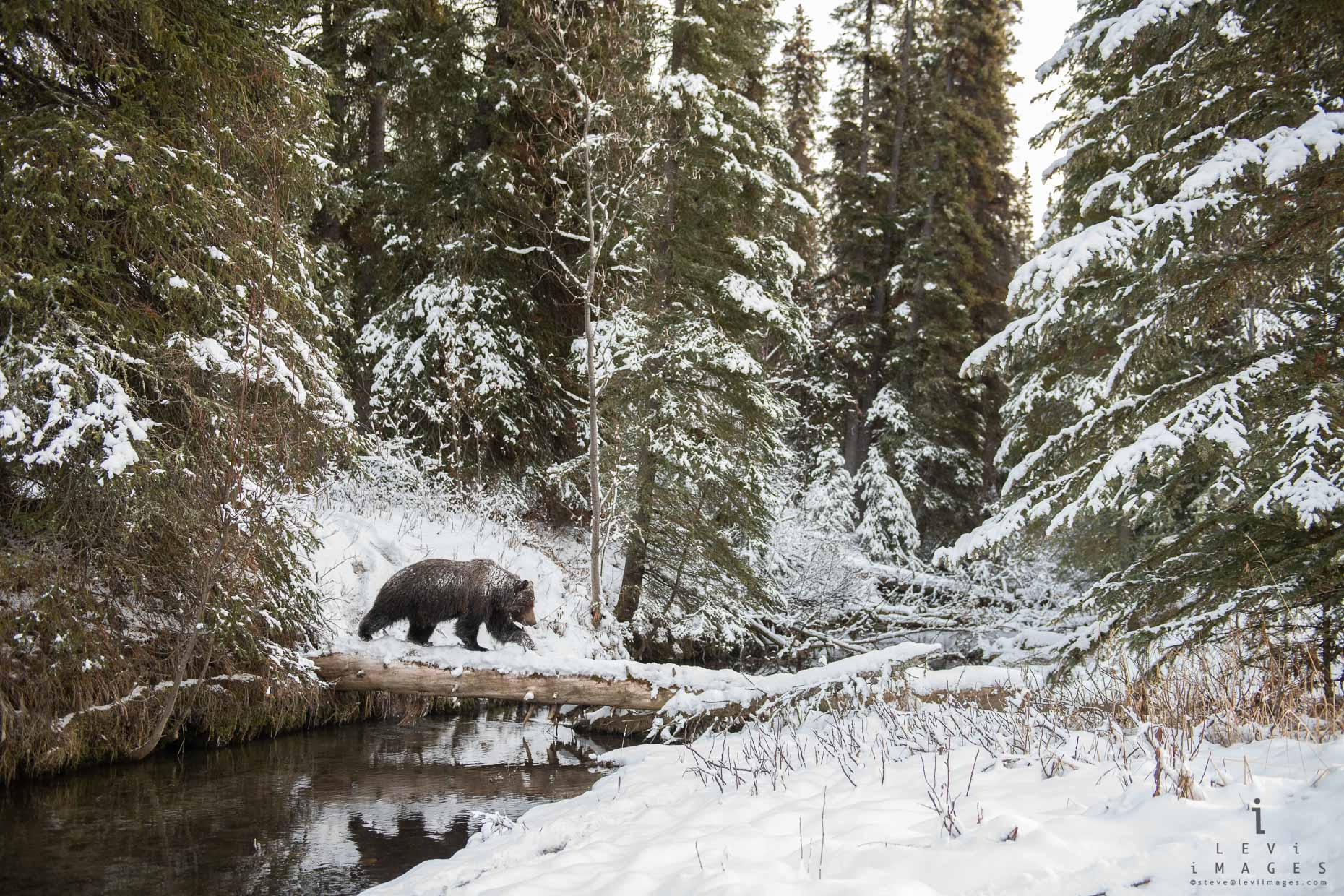 Brown Bear crosses log in Winter Wonderland