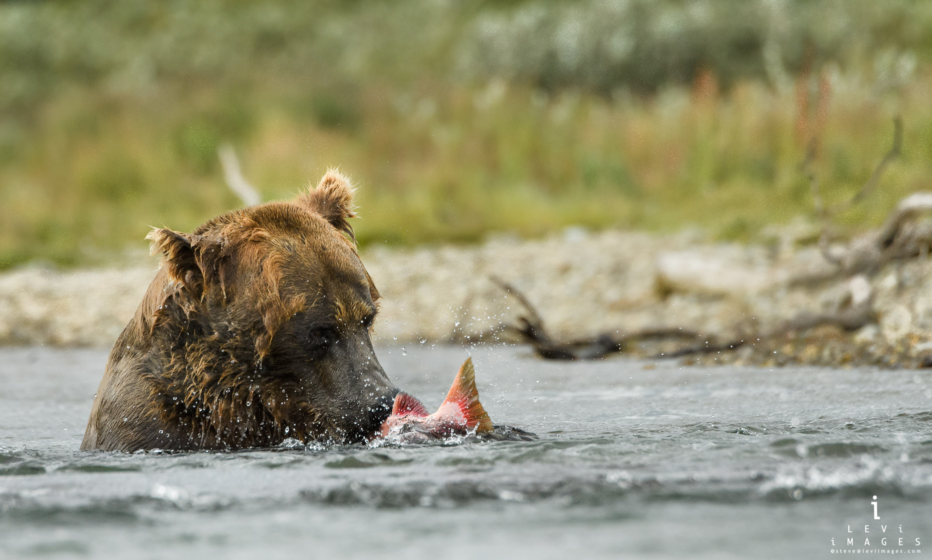 Brown bear (Ursus arctos) in river with fish. Katmai, Alaska