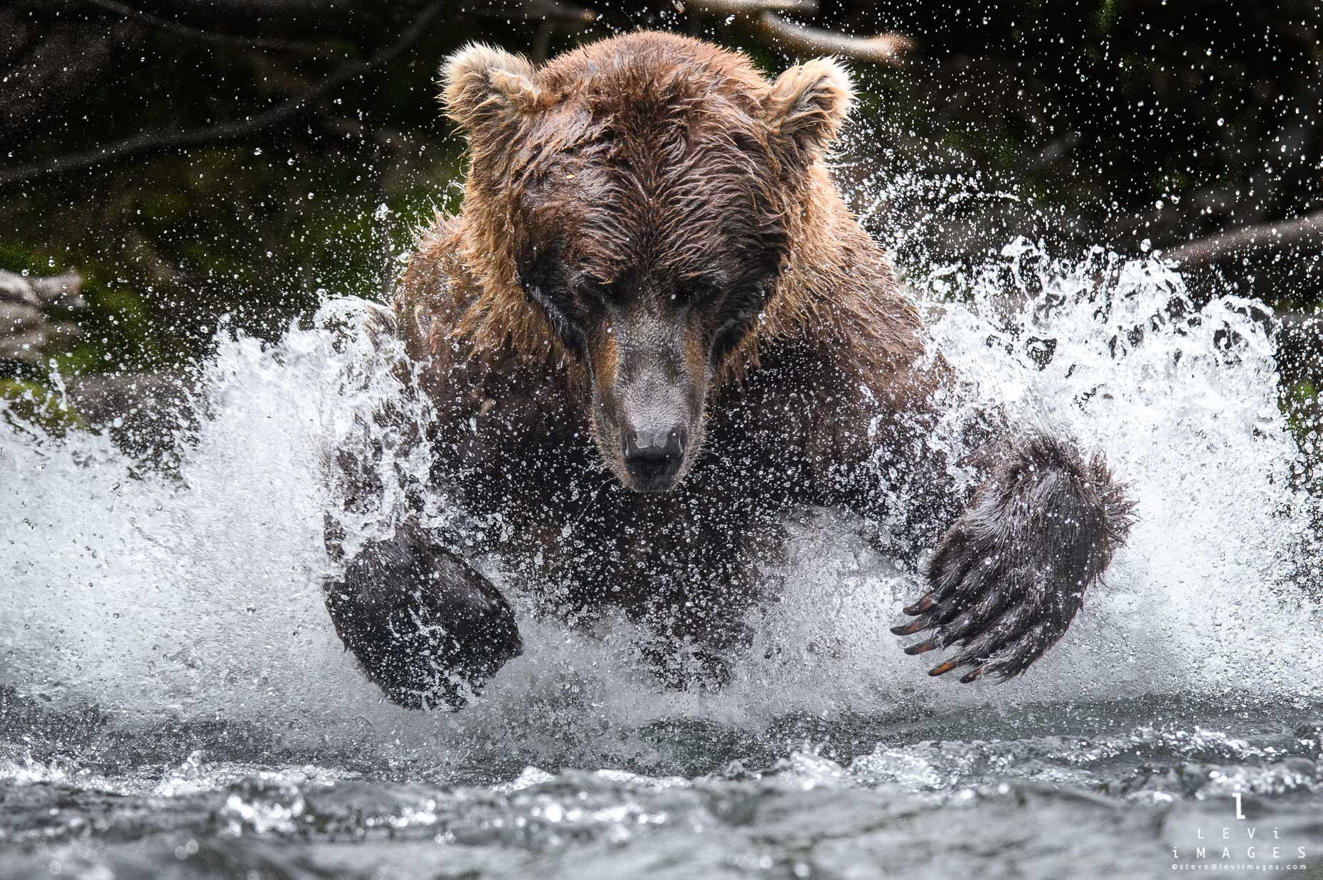 Brown bear (Ursus arctos) lunges for fish in river. Katmai, Alaska