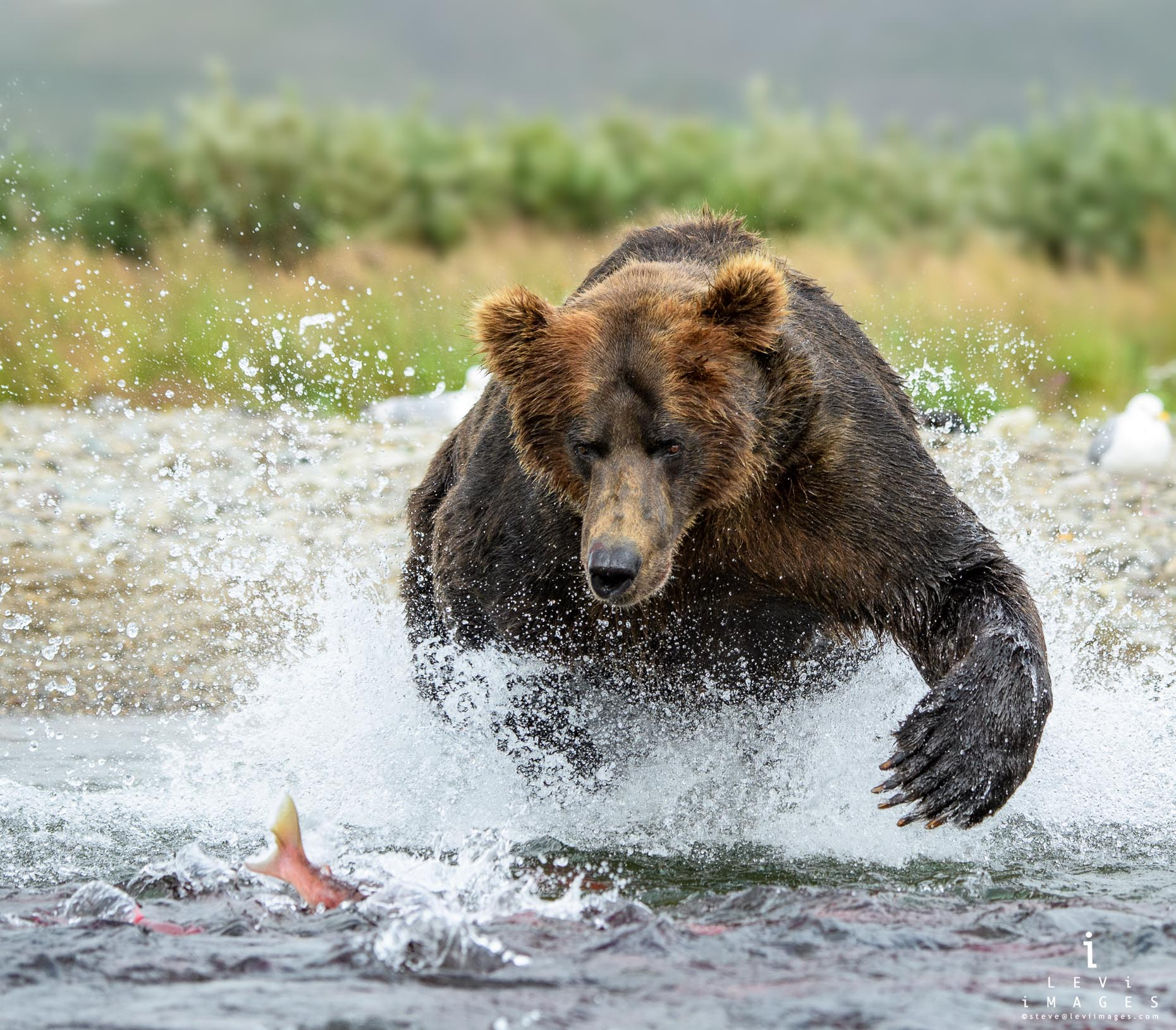 Brown bear (Ursus arctos) lunges at fish. Katmai Alaska
