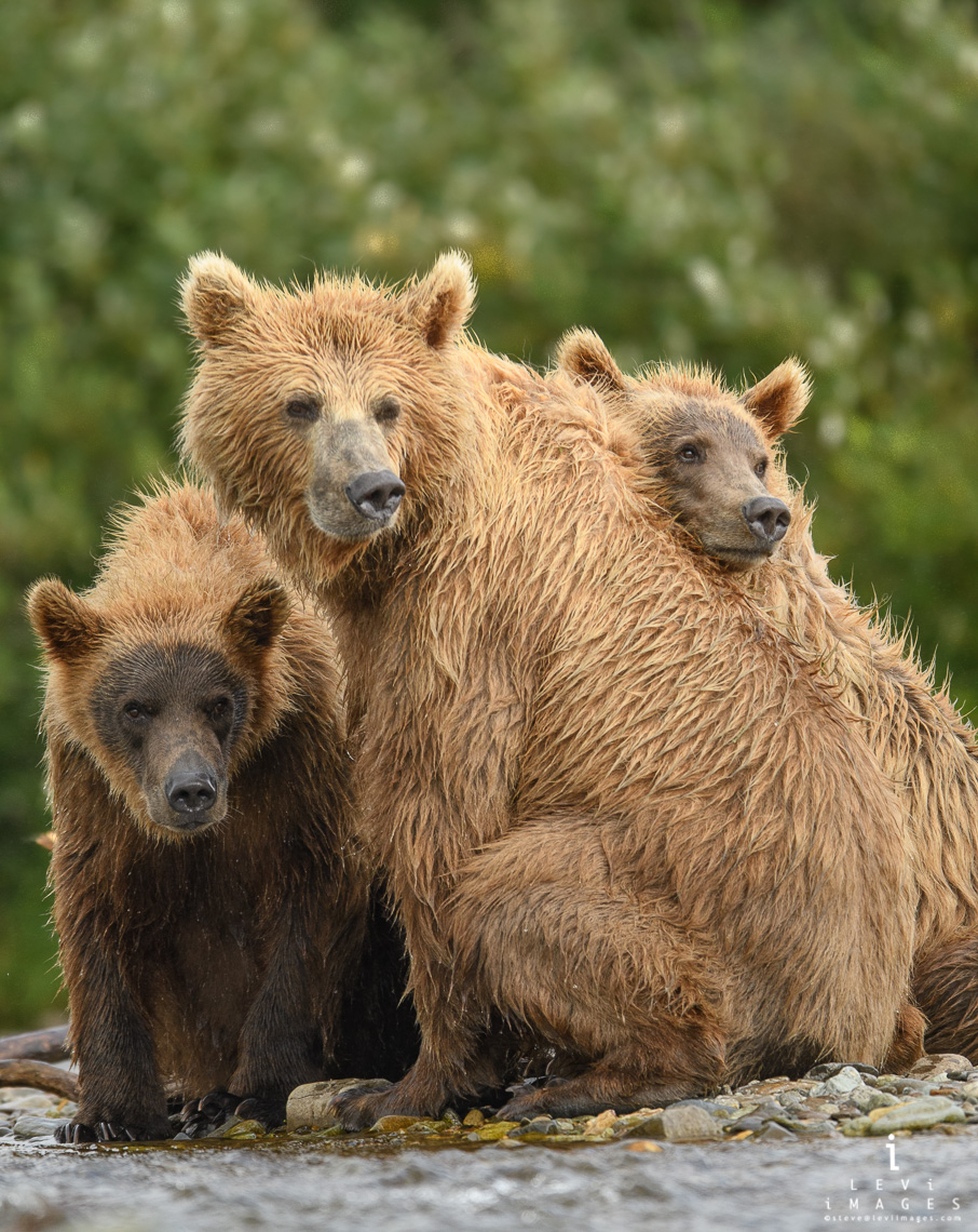 Mother grizzly bear (Ursus arctos) with two cubs watch as boar passes by. Katmai, Alaska