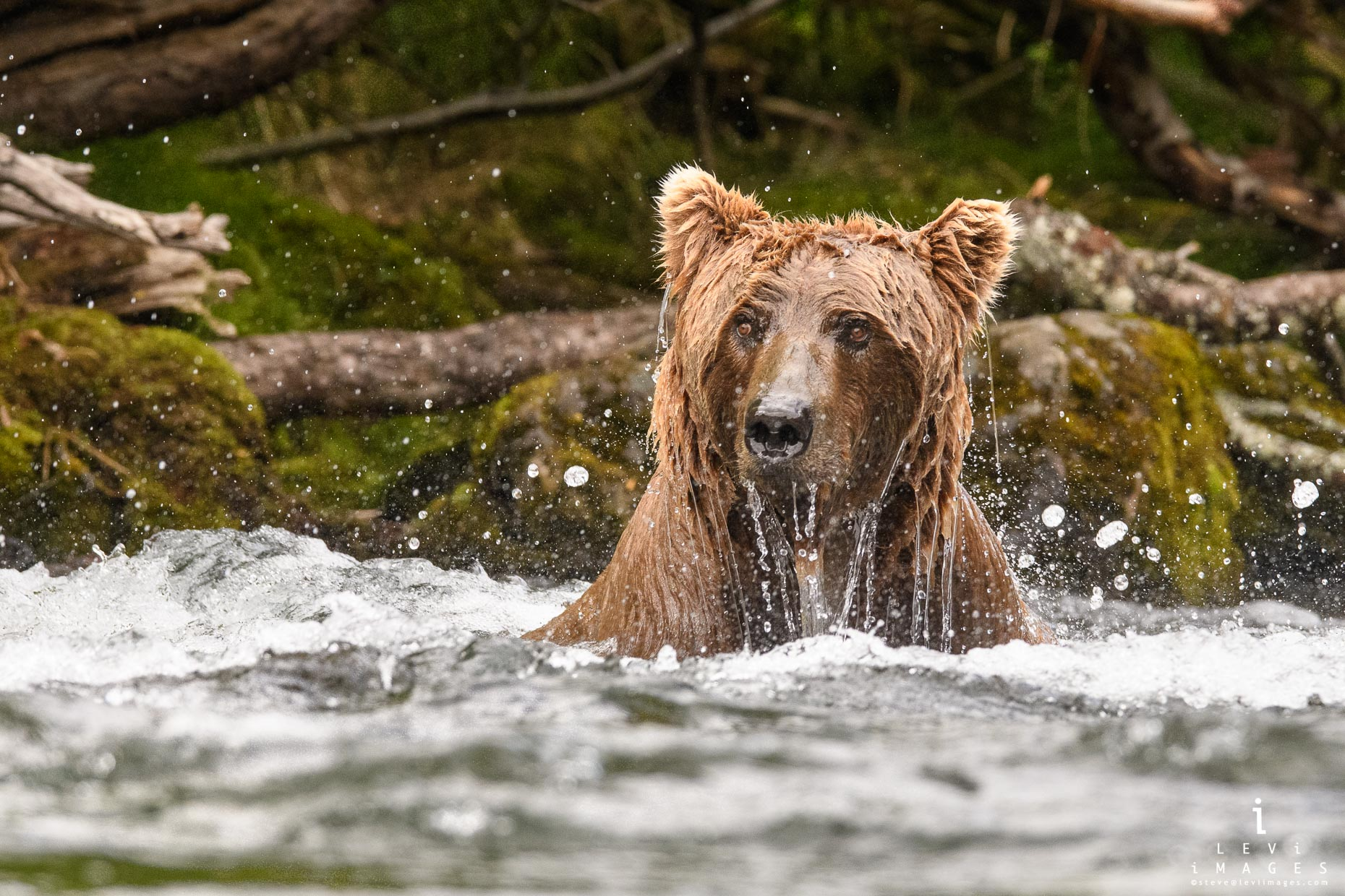 Brown bear (Ursus arctos) in river dripping water. Katmai, Alaska