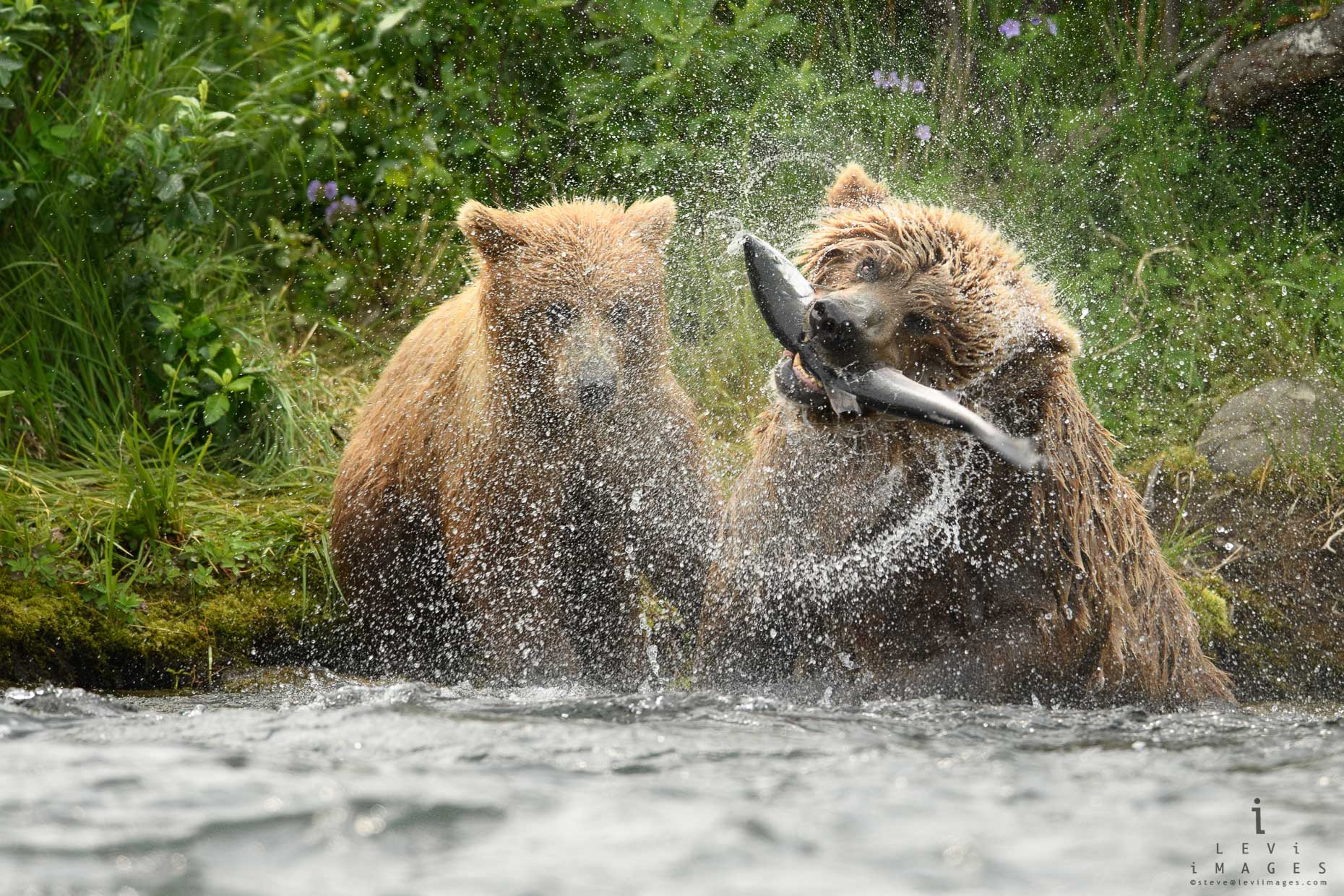 Mother brown bear (Ursus arctos) with fish shaking while cub looks on. Katmai Alaska