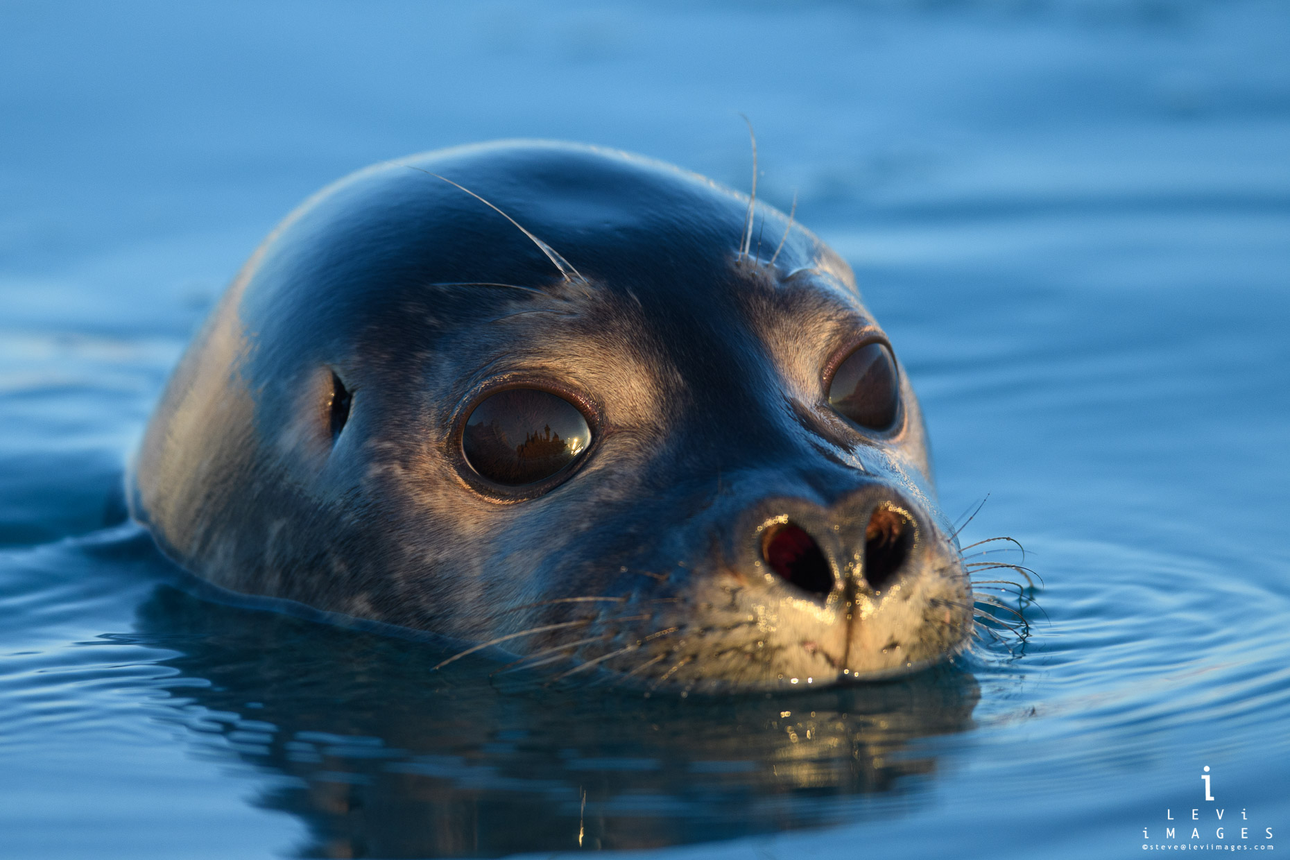 Harbor seal (Phoca vitulina) portrait at sunset close-up. Svalbard, Norway