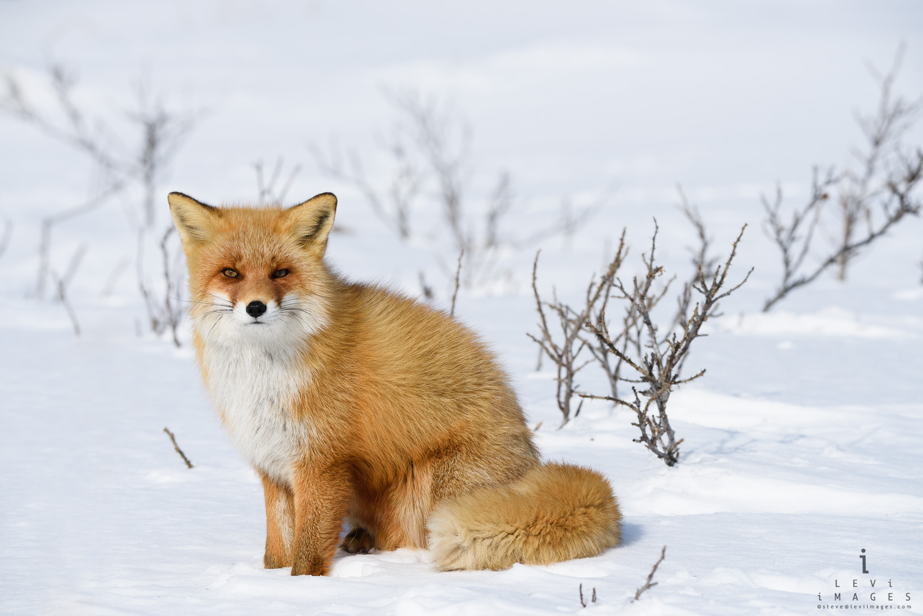 Hokkaido red fox (Vulpes vulpes)  poses sitting ion the snow. Japan