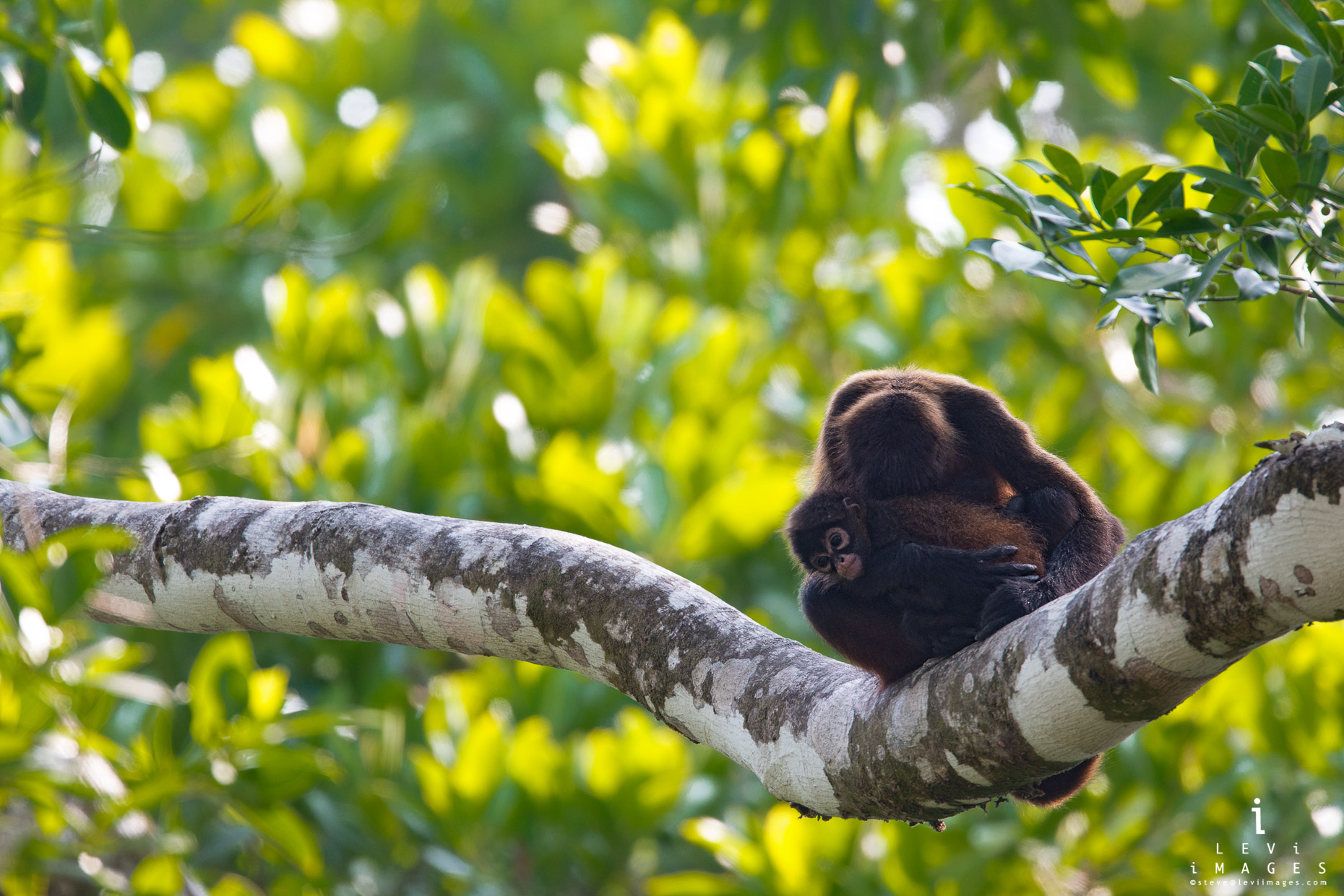 Mantled howler (Alouatta palliata) monkey sleeps on branch with baby in its arms. Osa Peninsula, Costa Rica