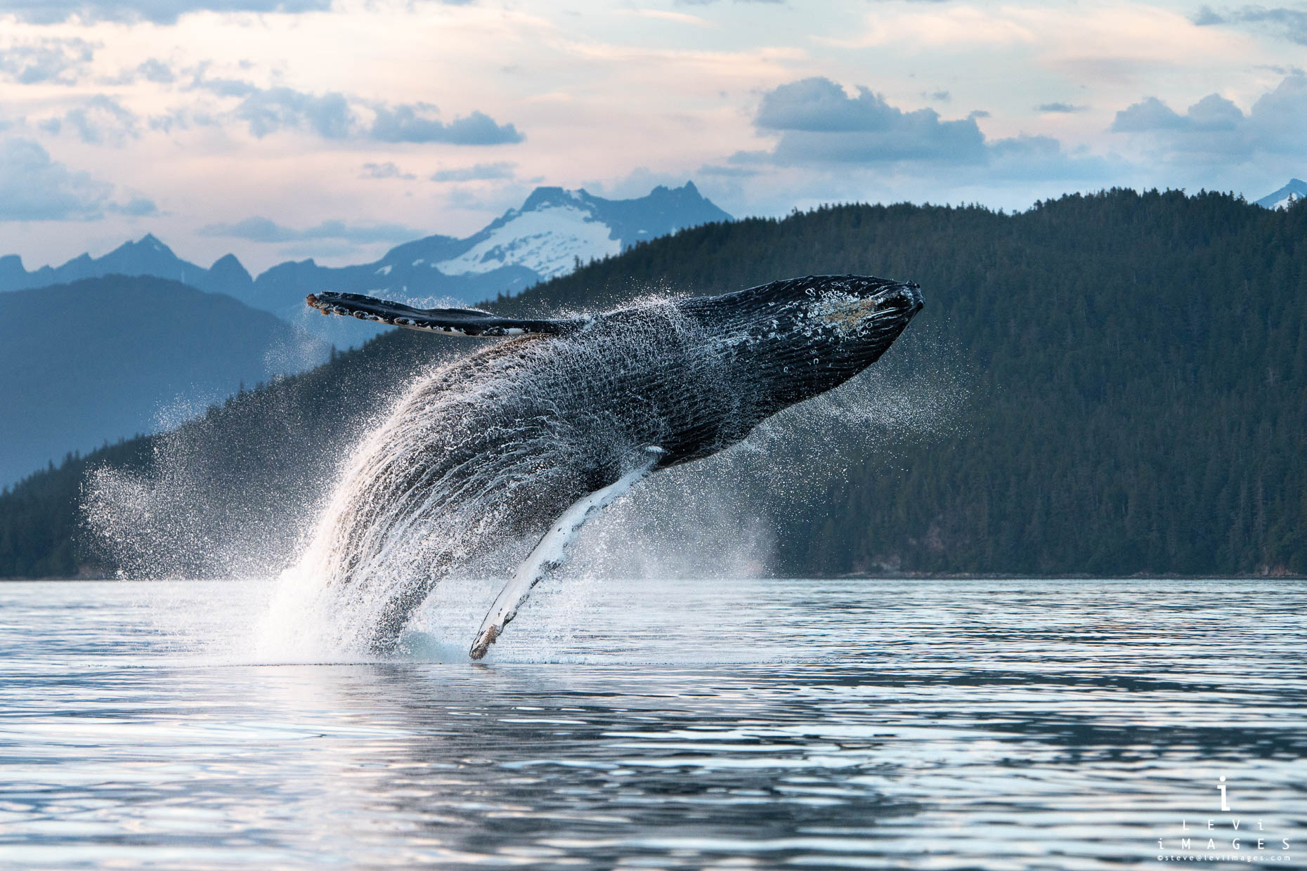A humpback whale (Megaptera novaeangliae) breaches at dusk in front of snow covered mountains. Inside Passage, Alaska