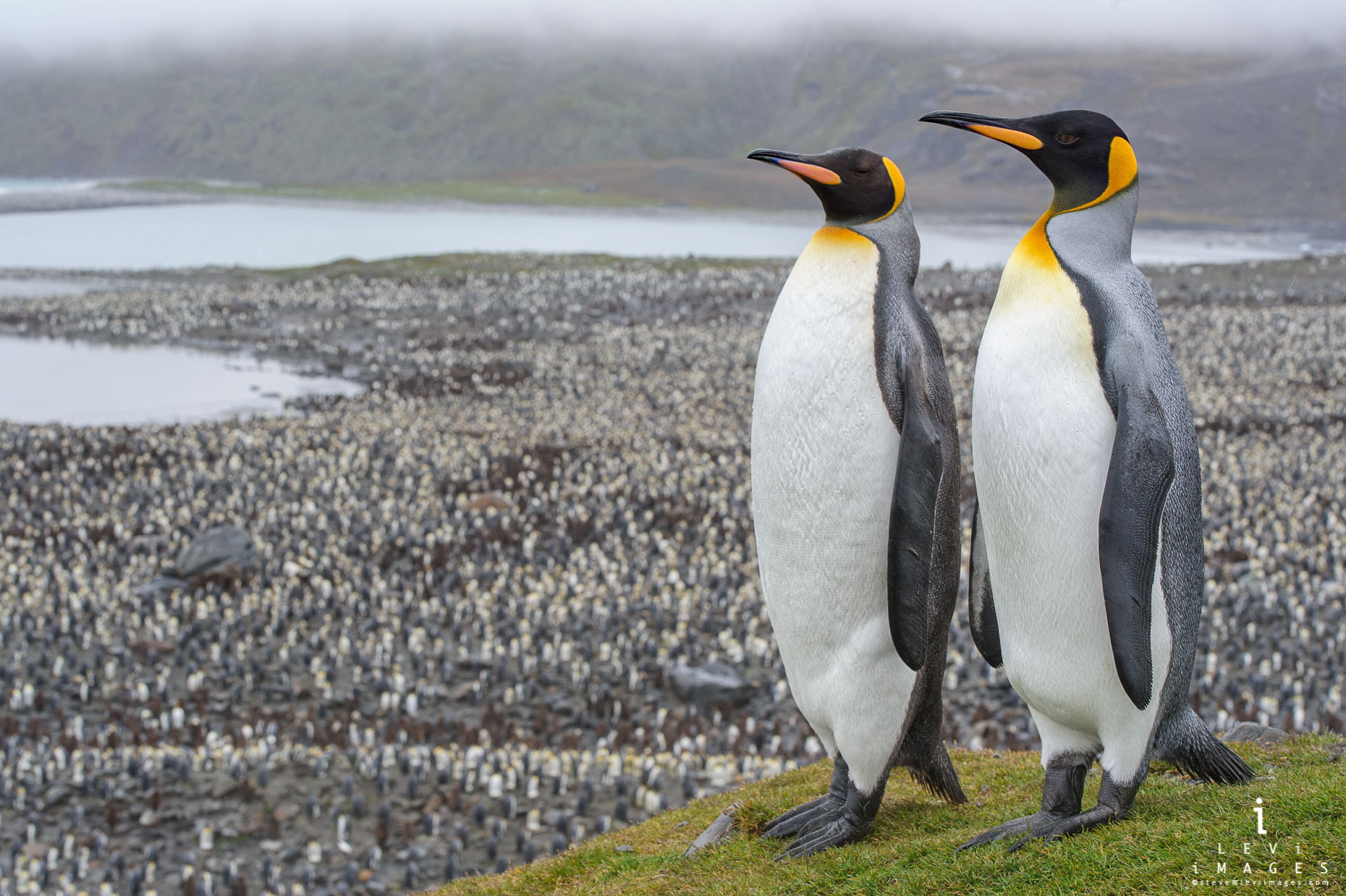 King penguins (Aptenodytes patagonicus) act as sentinels over colony. Saint Andrews bay