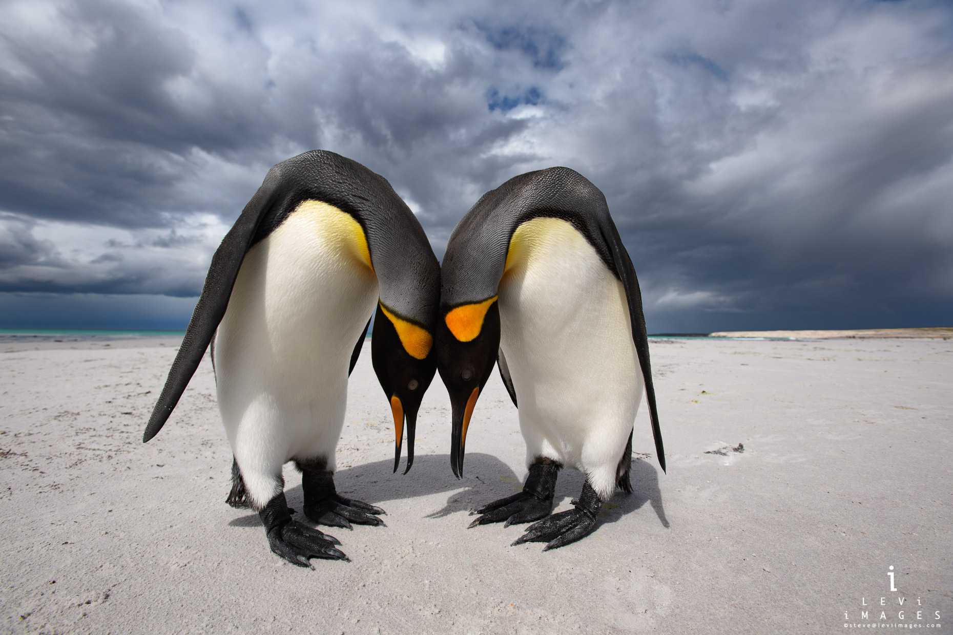 King penguins (Aptenodytes patagonicus) mating ritual Volunteer Point, Falkland Islands