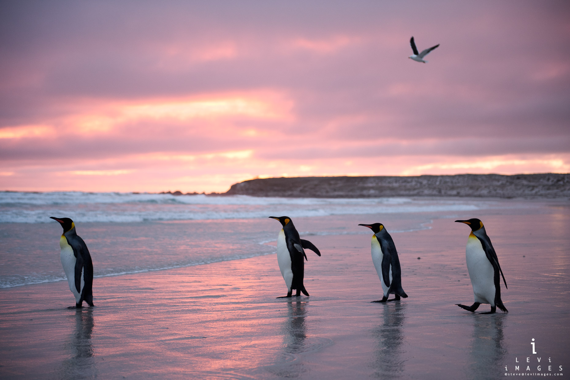 King penguins (Aptenodytes patagonicus) and bird on beach at sunrise. Volunteer Point, Falkland Islands