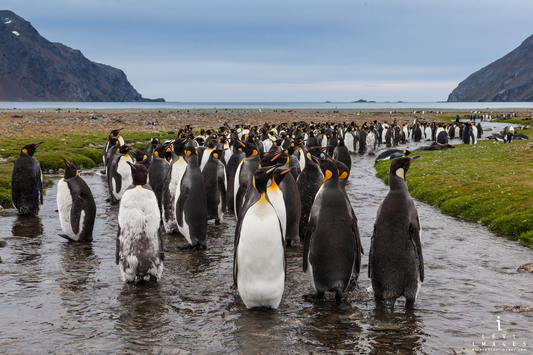 King penguins (Aptenodytes patagonicus). Saint Andrews Bay, South Georgia Island