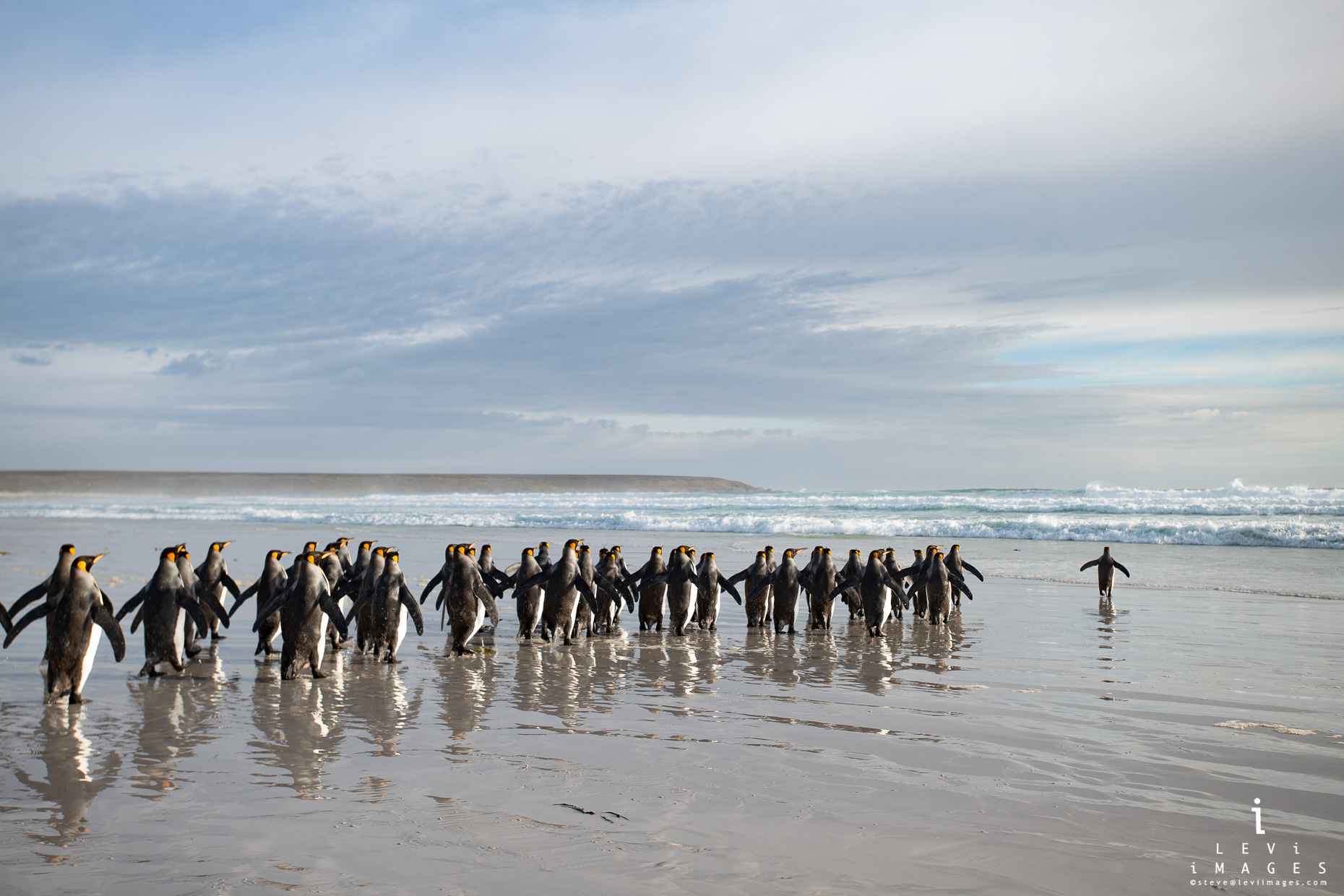 King penguins (Aptenodytes patagonicus) approach sea for early morning nourishment. Volunteer Point, Falkland Islands