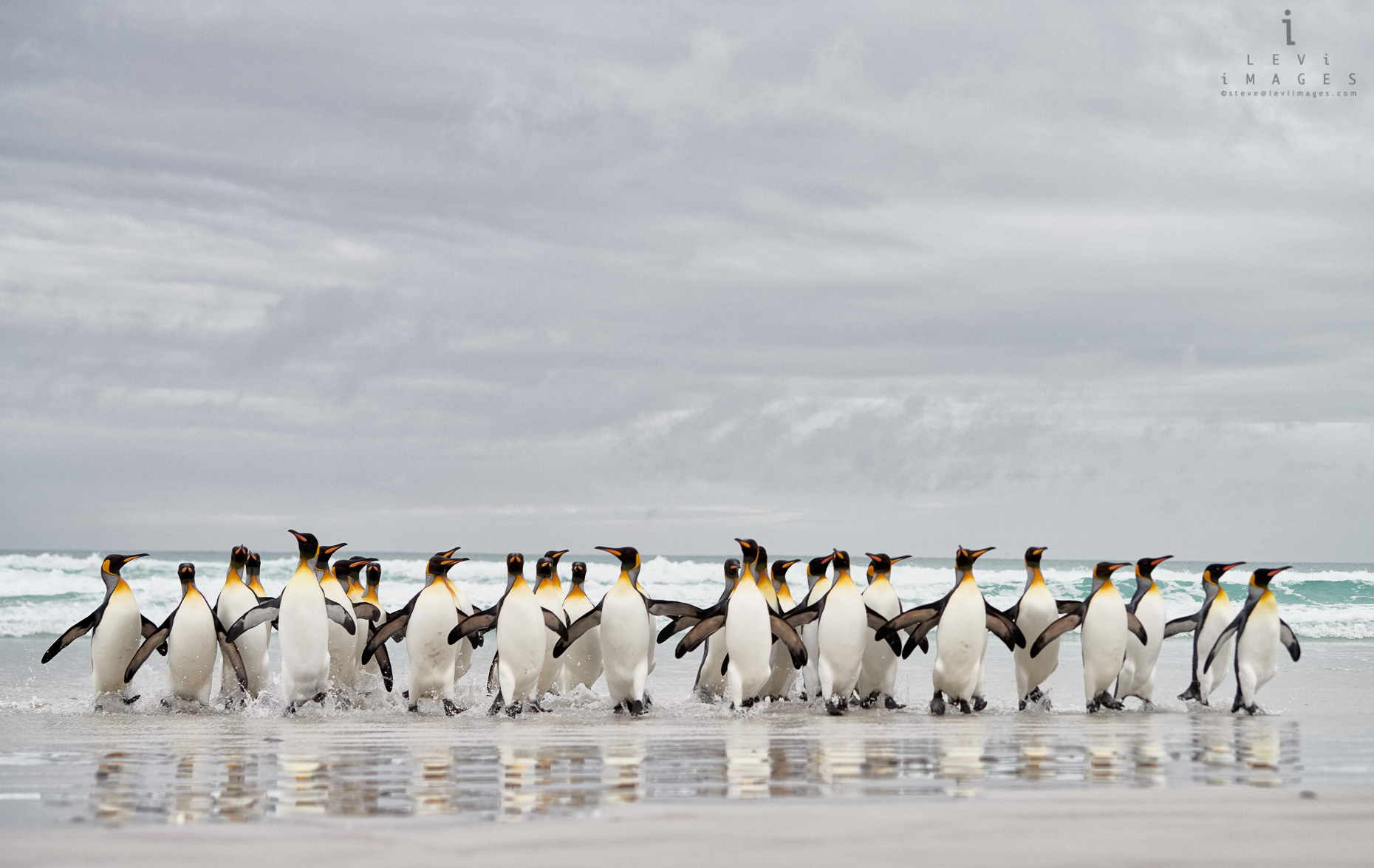 King penguins (Aptenodytes patagonicus) returning from sea with beach reflection. Volunteer Point, Falkland Islands