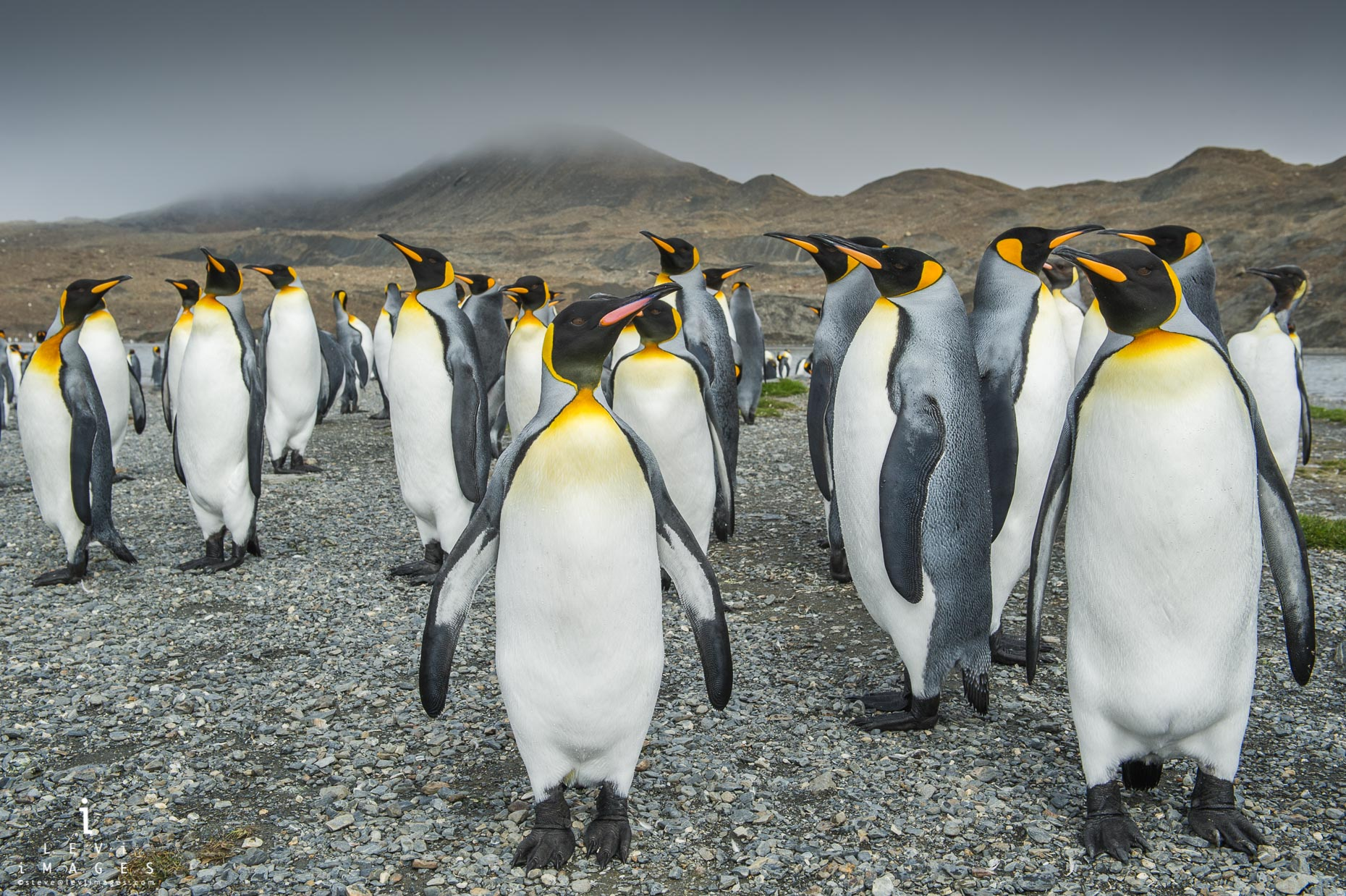 King penguins(Aptenodytes patagonicus). Saint Andrews Bay, South Georgia Island