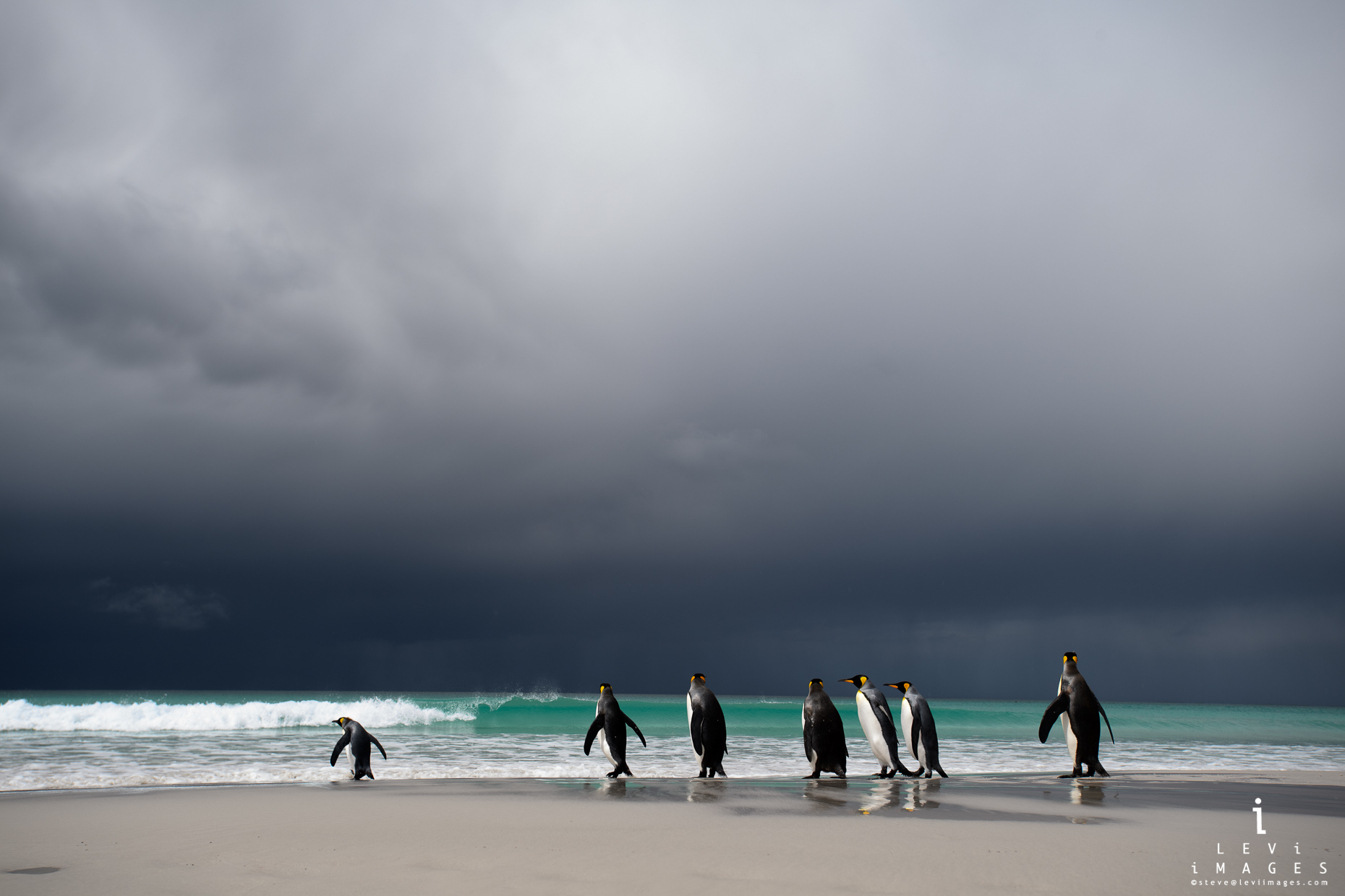 Into the Storm. King penguins (Aptenodytes patagonicus) entering the sea. Falkland Islands
