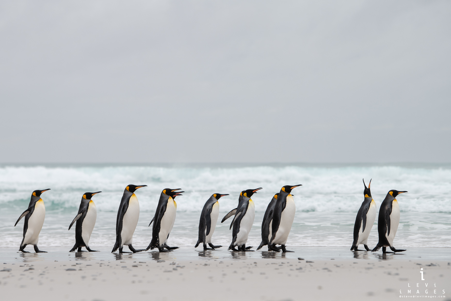 King penguins (Aptenodytes patagonicus) walking along beach. Volunteer Point, Falkland Islands