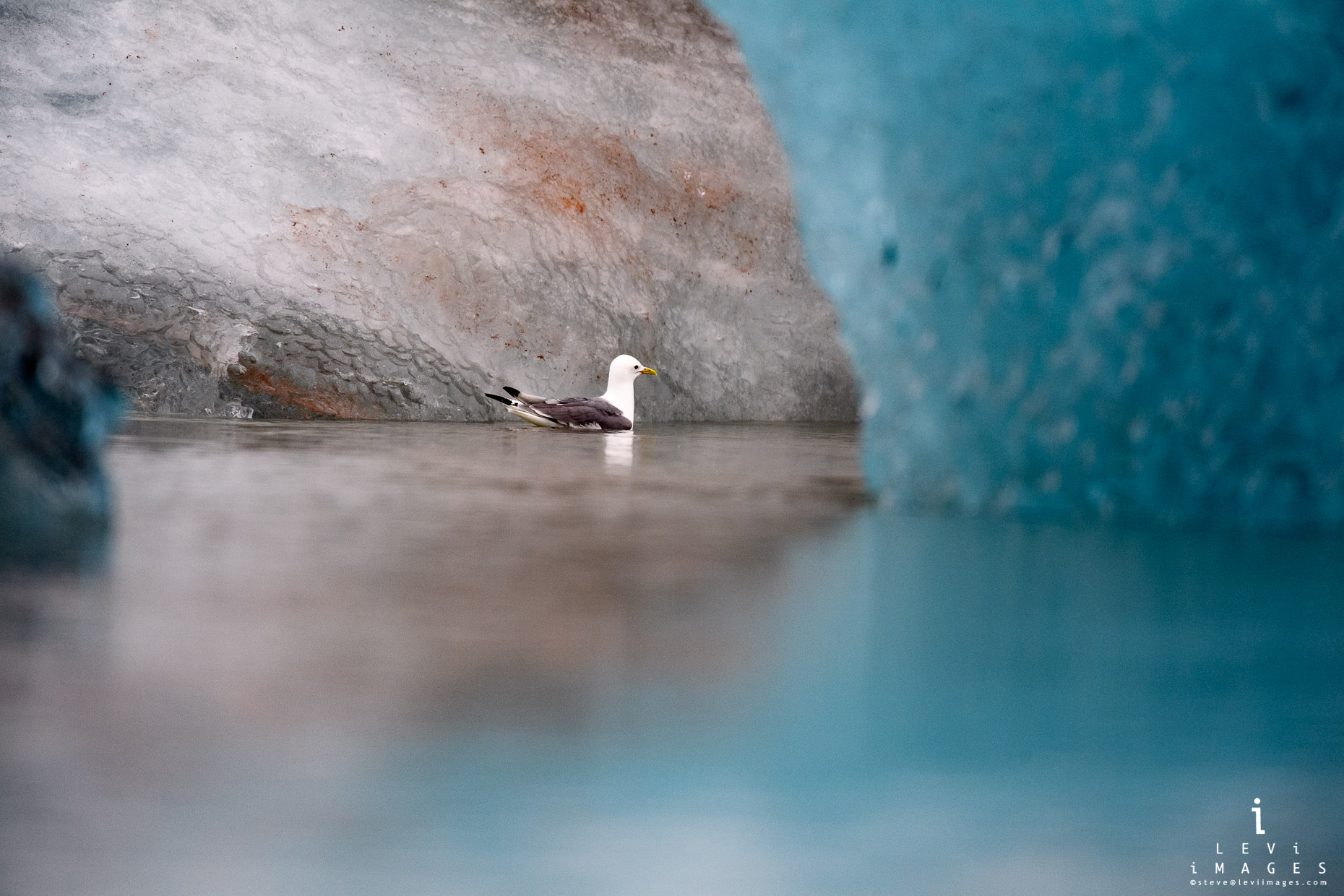 Kittiwake (genus Rissa) swims inside lichen-covered remains of iceberg. Svalbard, Norway