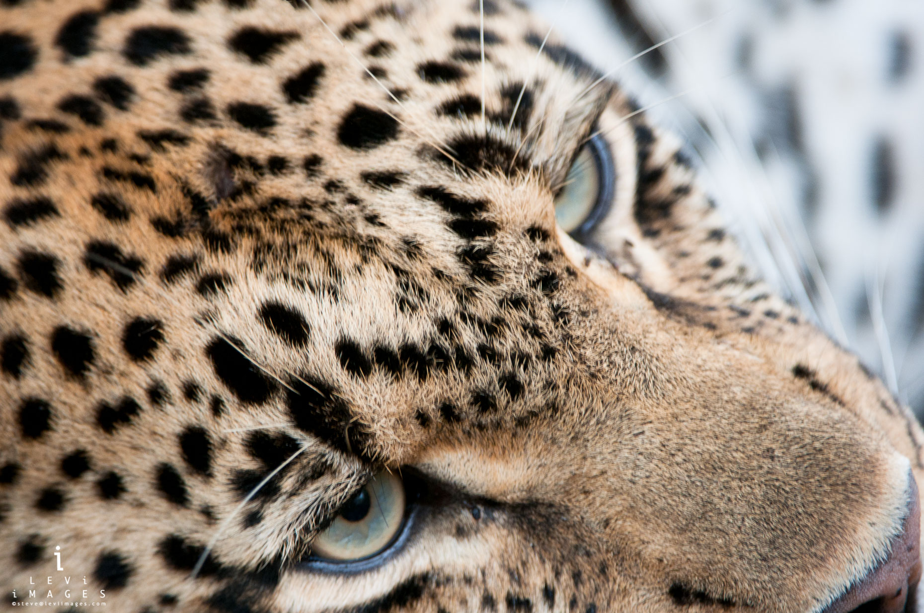 Portrait of leopard (Panthera pardus) face, close up. South Africa