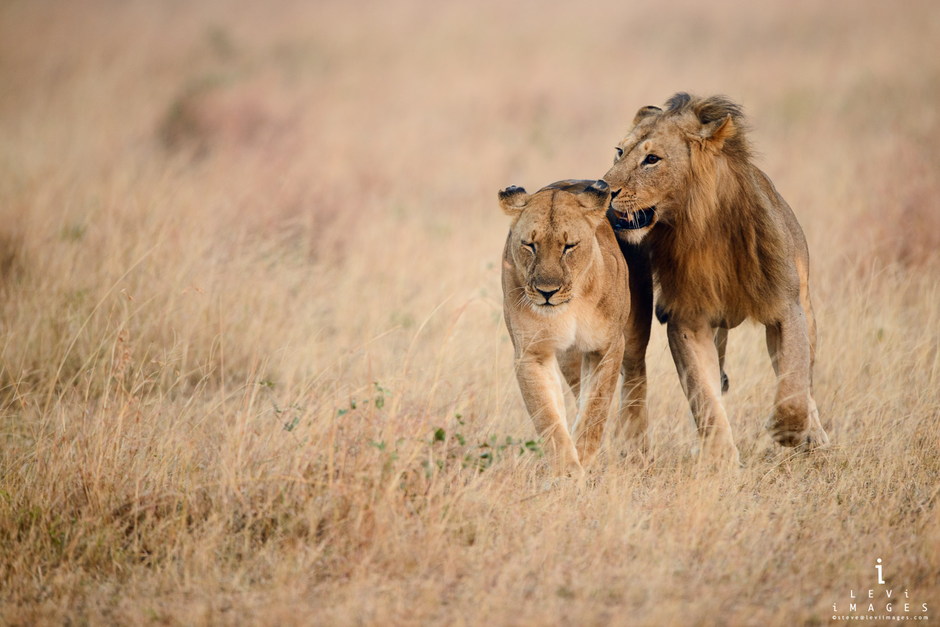 Lion (Panthera leo) courtship. Serengeti plains, Africa