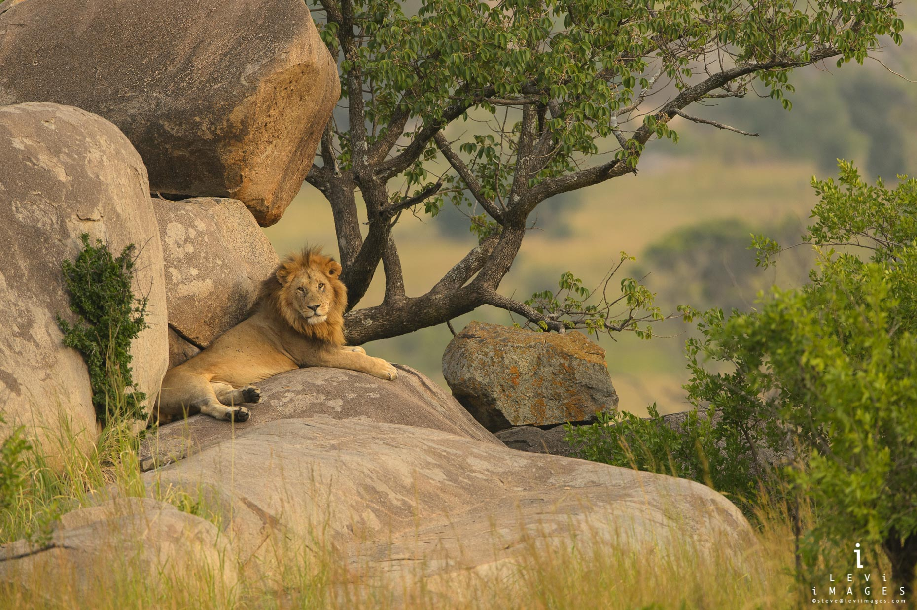 Male Lion (Panthera leo) rests on Kopje rocks in golden light. Serengeti, Africa