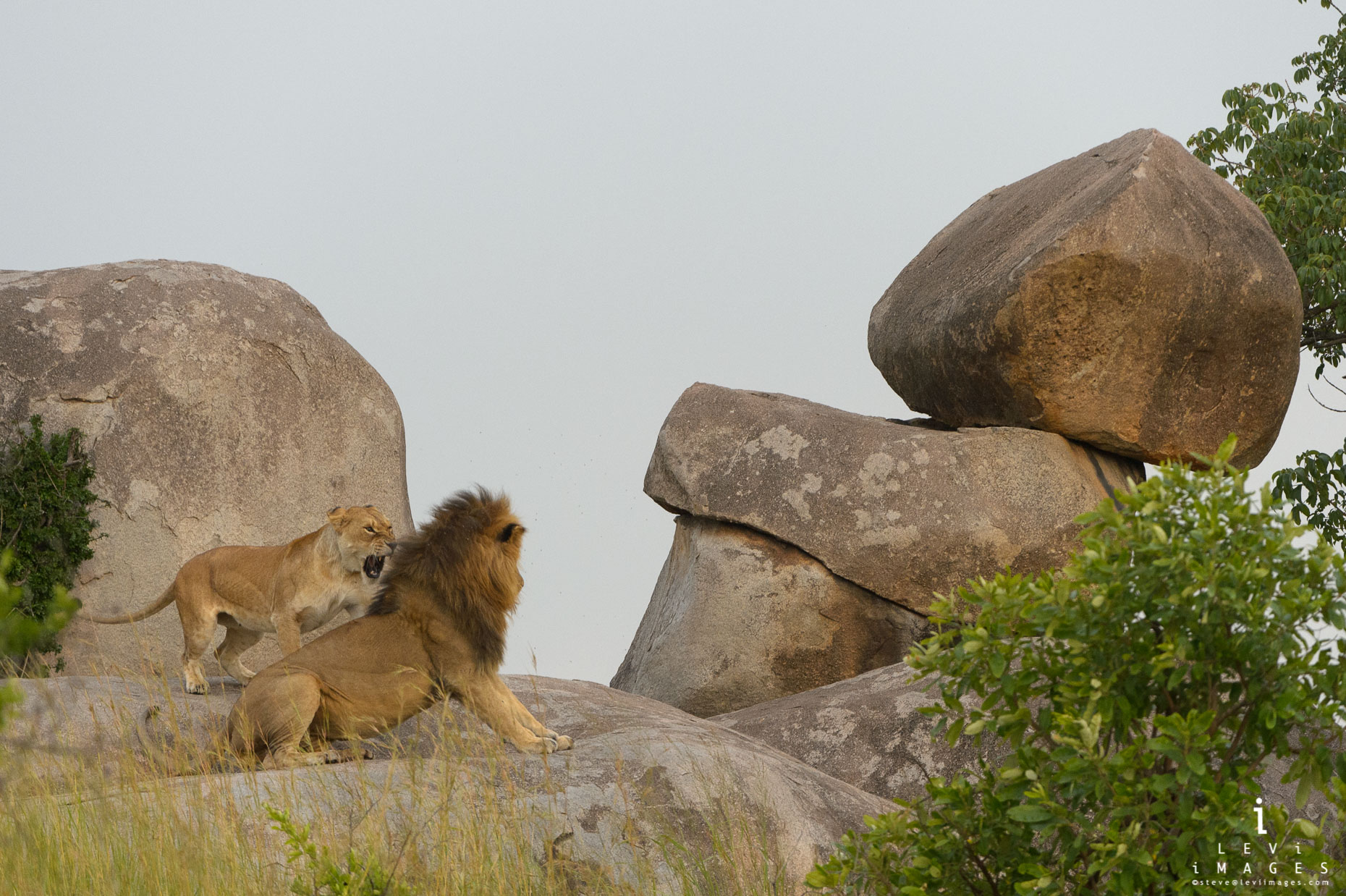 Lioness (Panthera leo) snarls at lion kopje rocks. Africa
