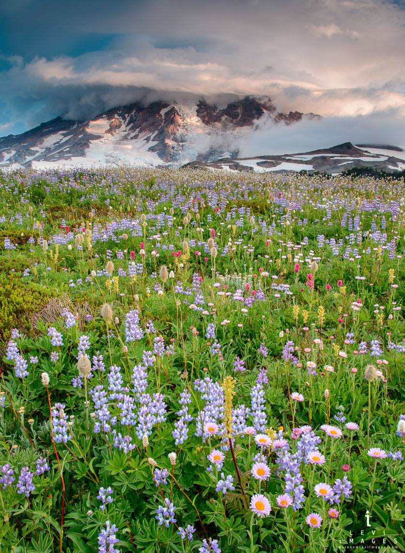 Wild flower field are blooming in front of Mount Rainier.  Mount Rainier National Park, Washinton