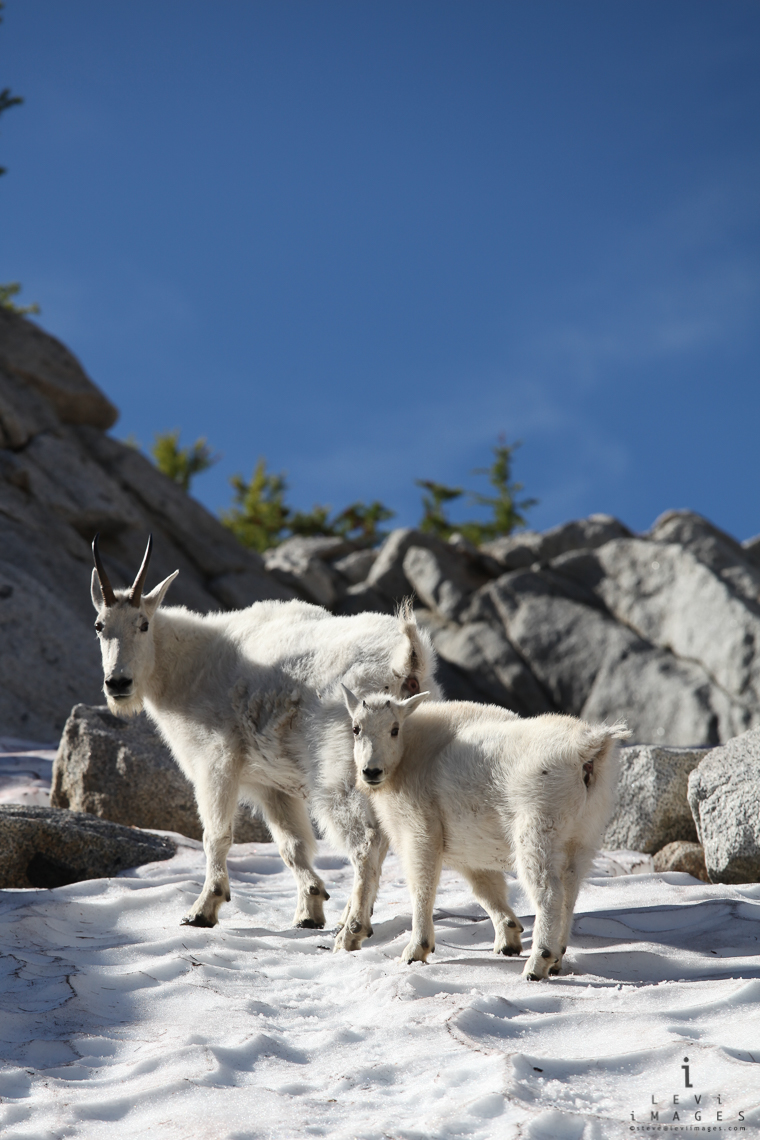 Mountain goat (Oreamnos americanus) and kid on snow and rocks. The Enchantments, Washington, USA