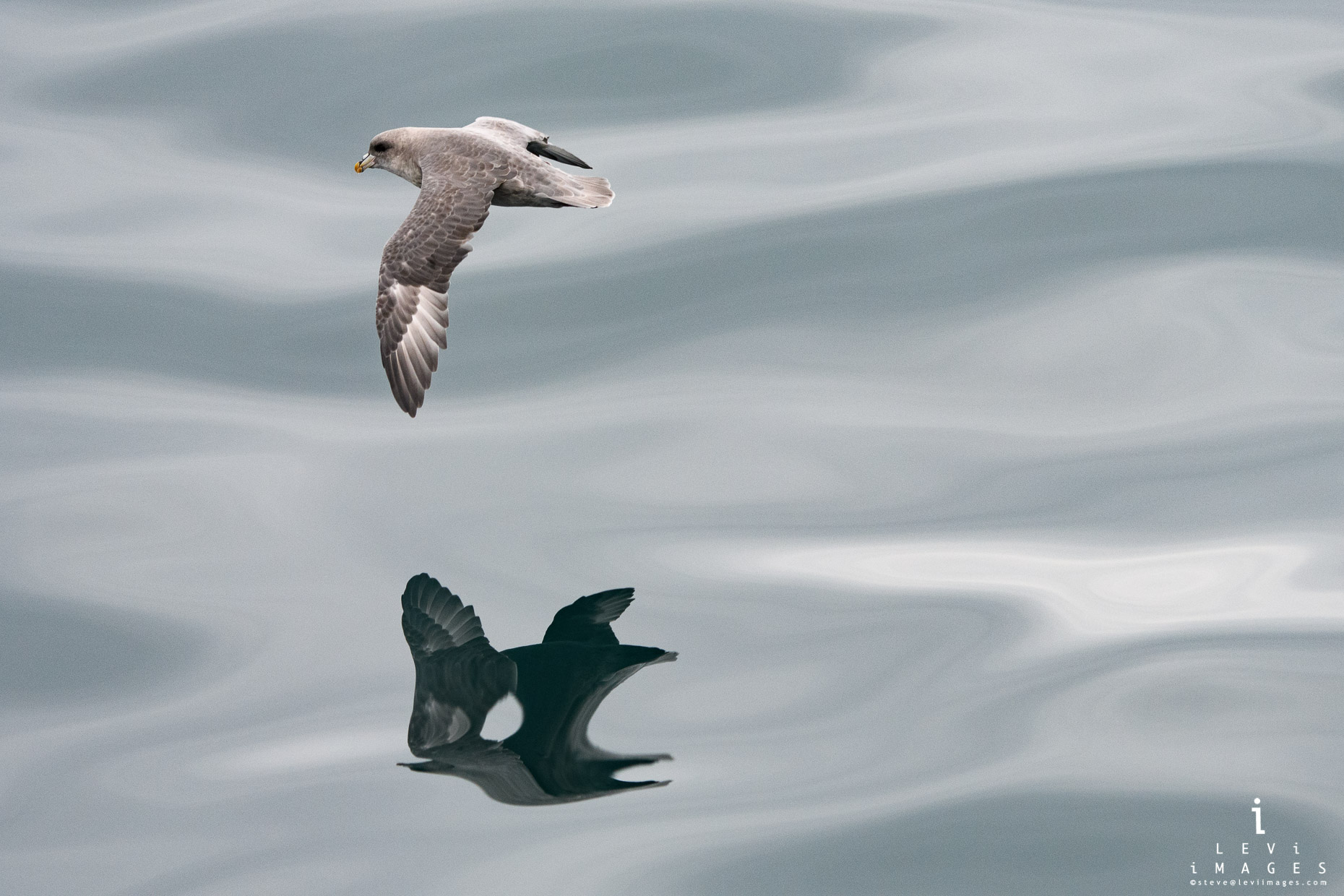 Northern fulmar (Fulmarus glacialis) in flight with reflection. Svalbard, Norway