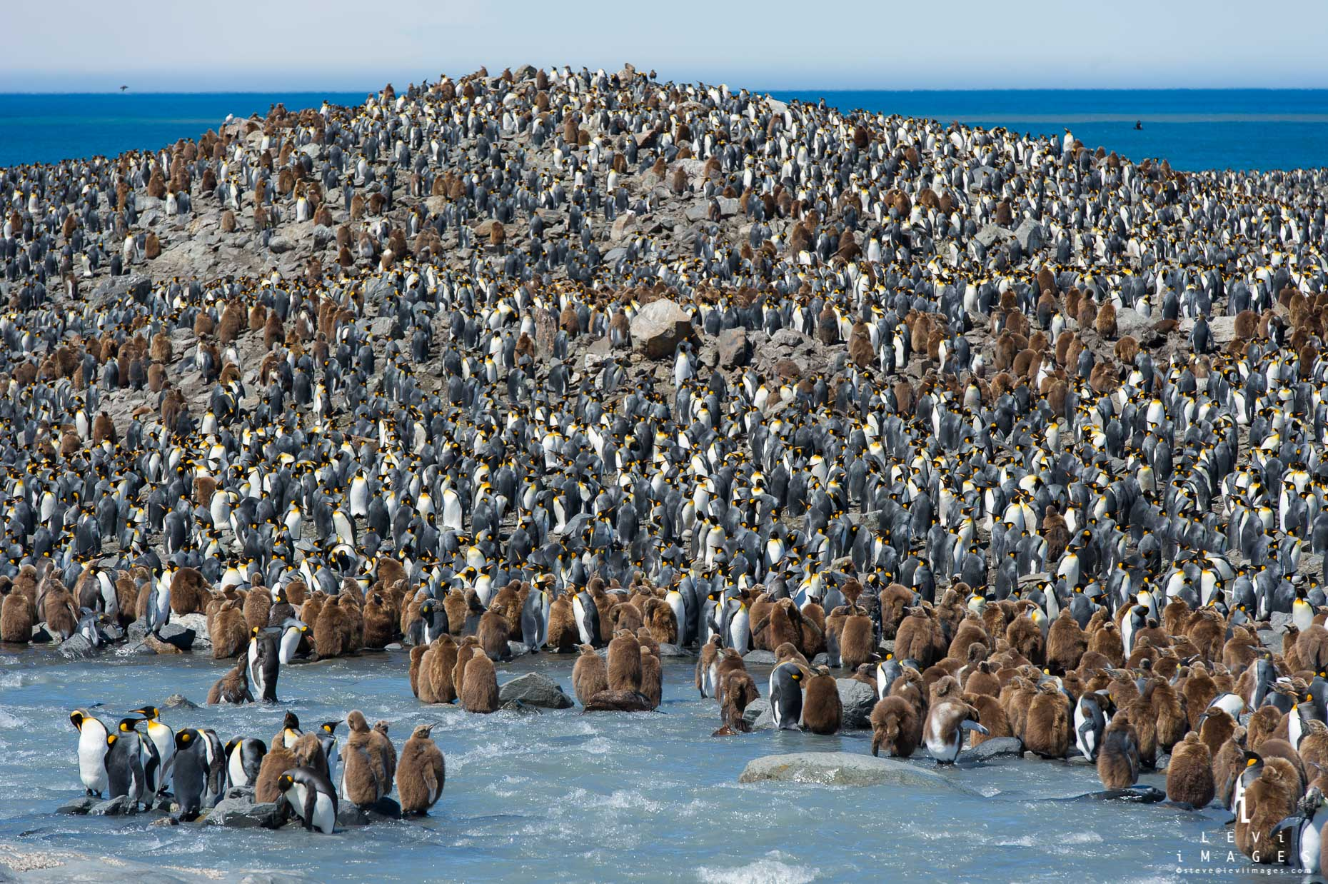 King penguin (Aptenodytes patagonicus) colony. Saint Andrews Bay, South Georgia Island