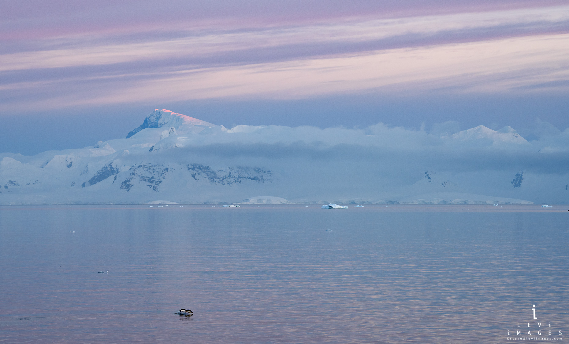 Gentoo penguins (Pygoscelis papua) porpoising in soft light sunrise. Useful Island Antarctica