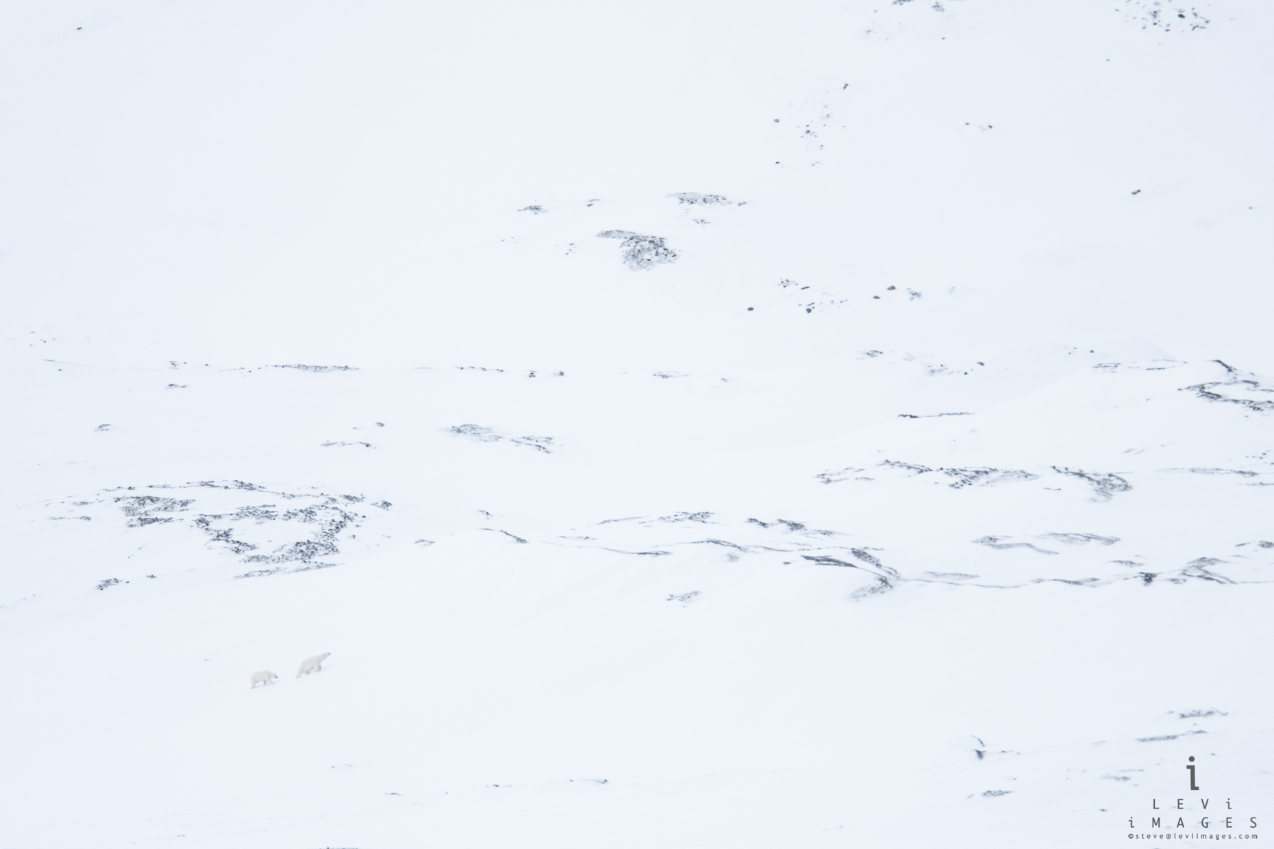 Polar bear (Ursus maritimus) and cub climb snow-covered mountain. Svalbard, Norway