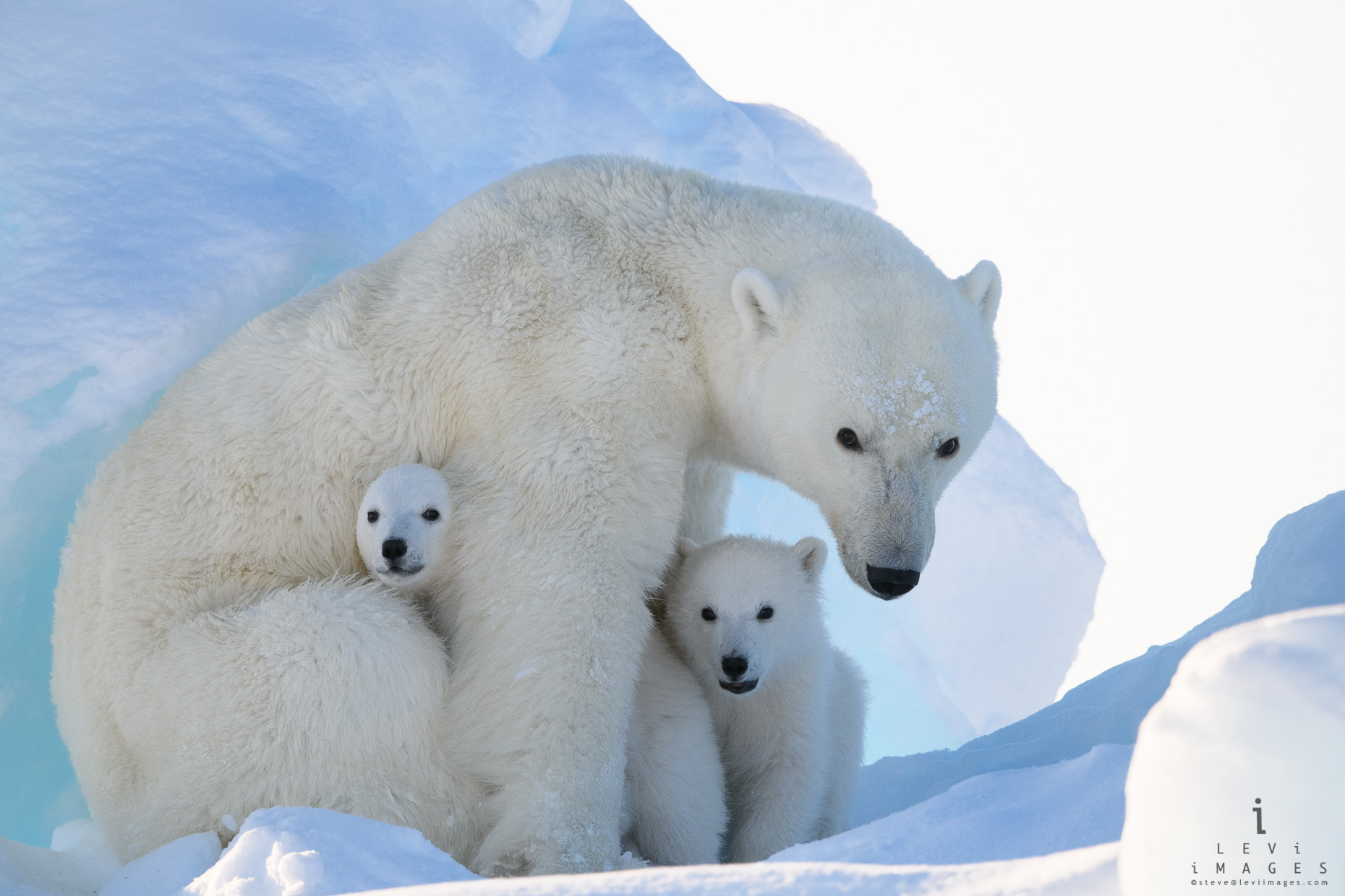 Peek-a-boo. Polar bear (Ursus maritimus) mom and cubs. Baffin Island, Nunavut, Canada