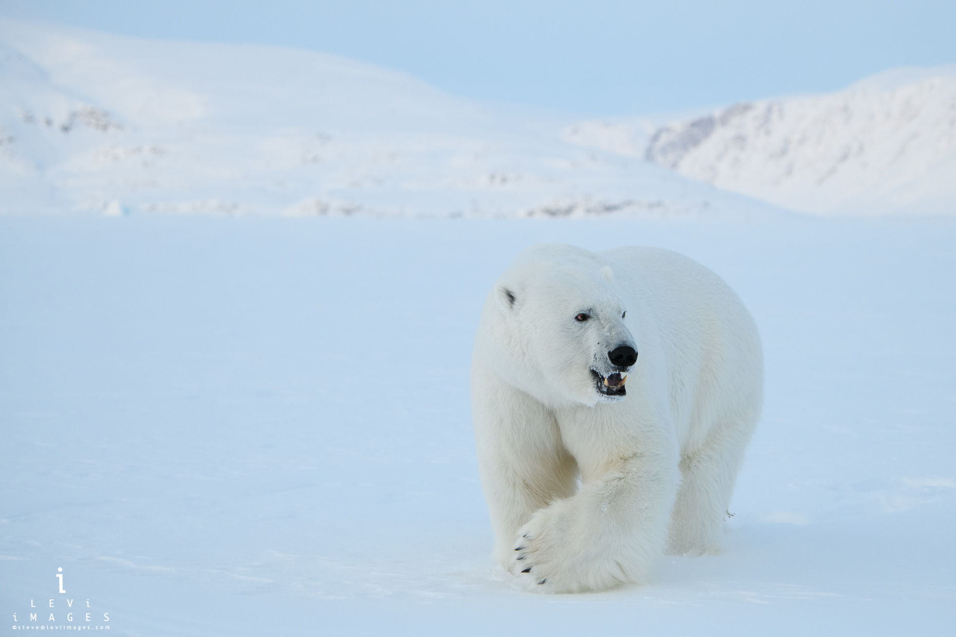 Large male polar bear (Ursus maritimus) approaches. Baffin Island, Nunavut, Canada