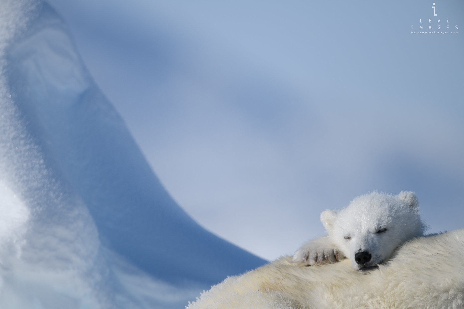 Polar bear (Ursus maritimus) cub sleeping on mom. Baffin Island, Nunavut, Canada
