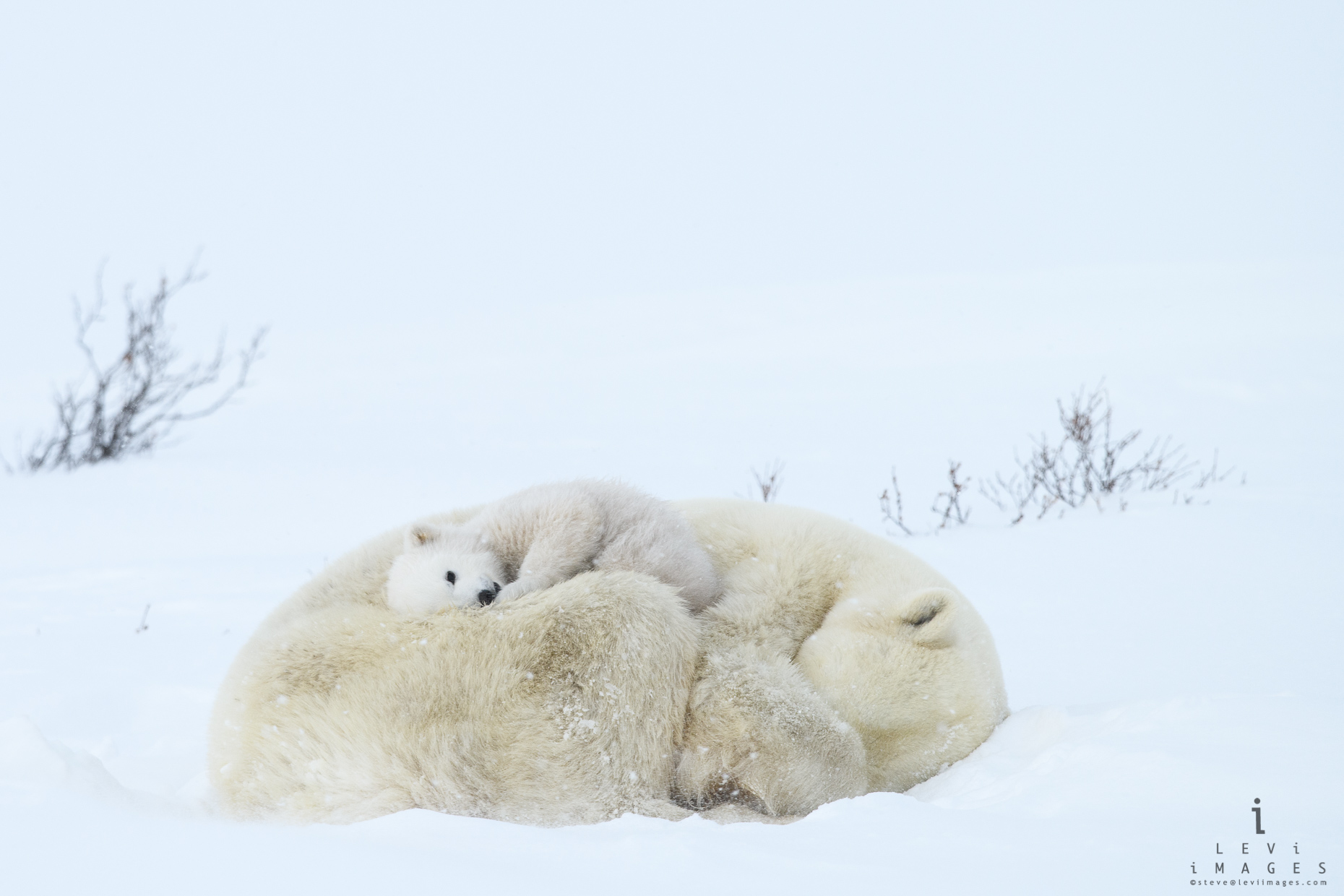 Polar bear (Ursus maritimus) cub rests atop its sleeping mom. Wapusk National Park, Manitoba, Canada