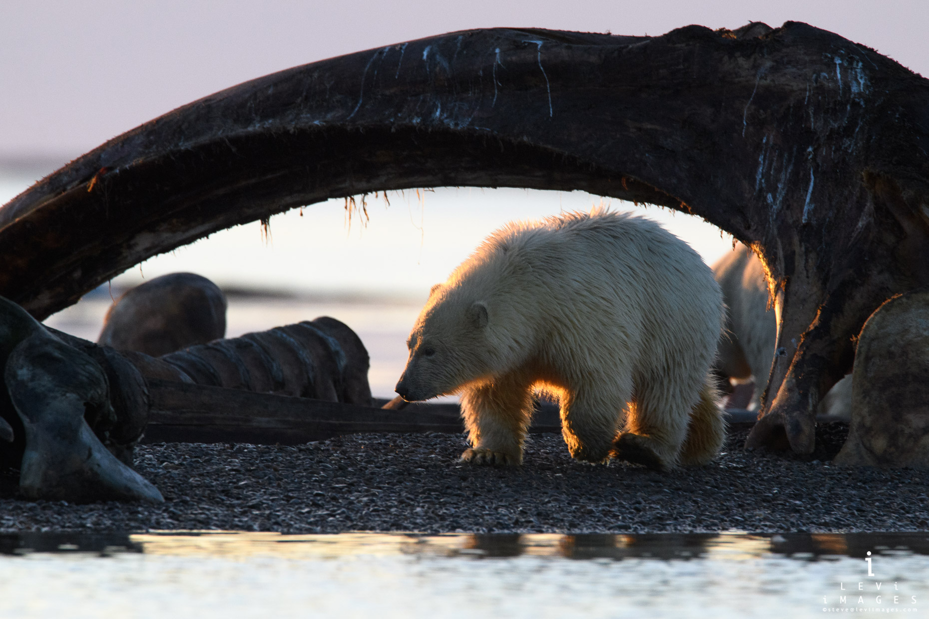 polar bear cub under whale bone Kaktovik Alaska