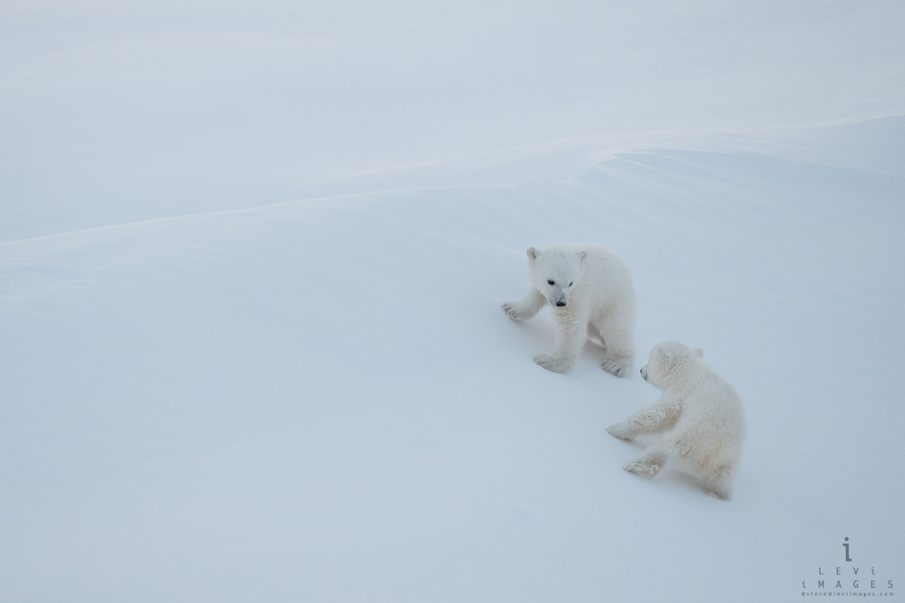 polar cubs at play