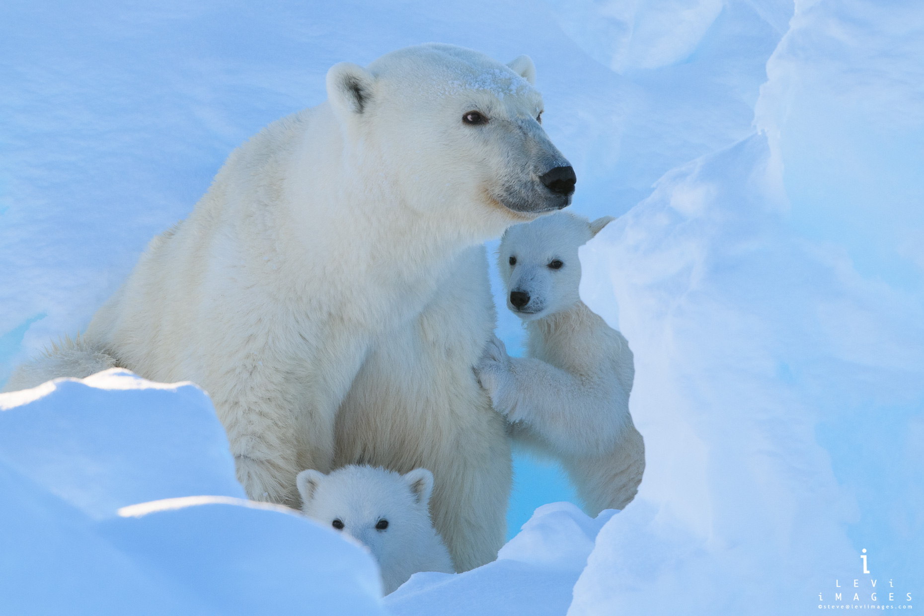 Polar bear (Ursus maritimus) cubs stay close as mom checks for threats. Baffin Island, Nunavut, Canada