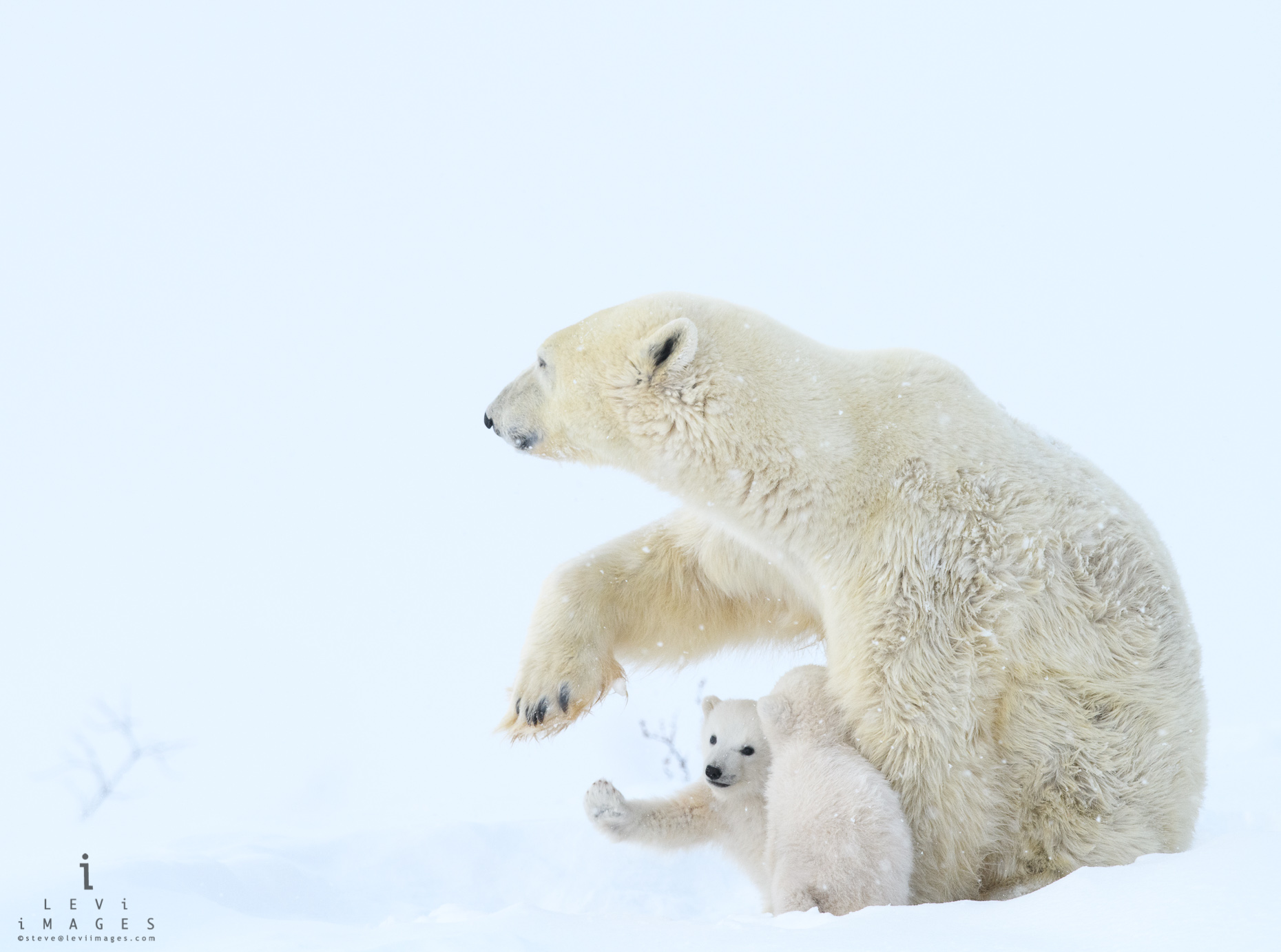 Polar bear (Ursus maritimus) and cub high-five. Wapusk National Park, Manitoba, Canada