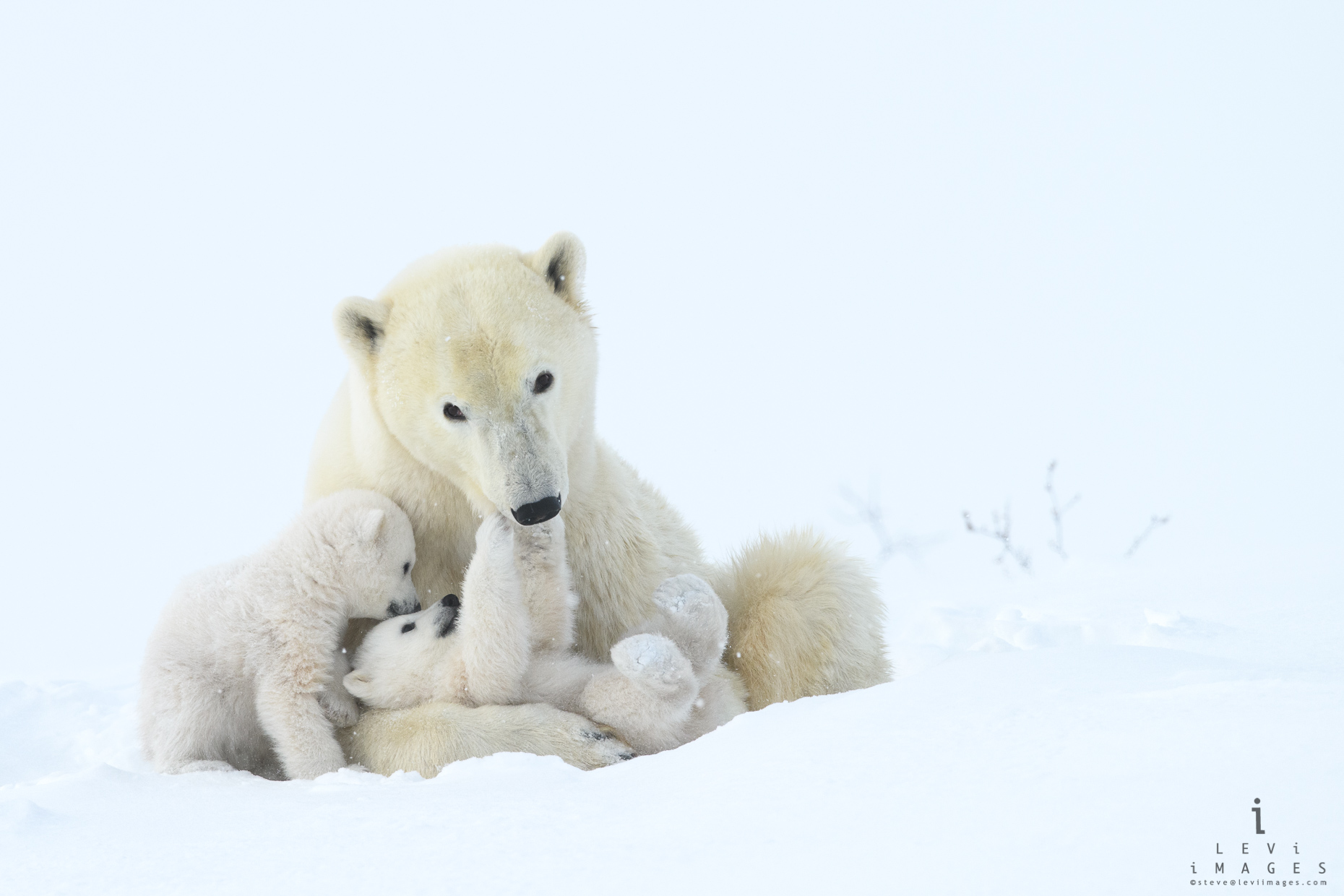 Tender play. Polar bear (Ursus maritimus) mom and cubs. Wapusk National Park, Manitoba, Canada