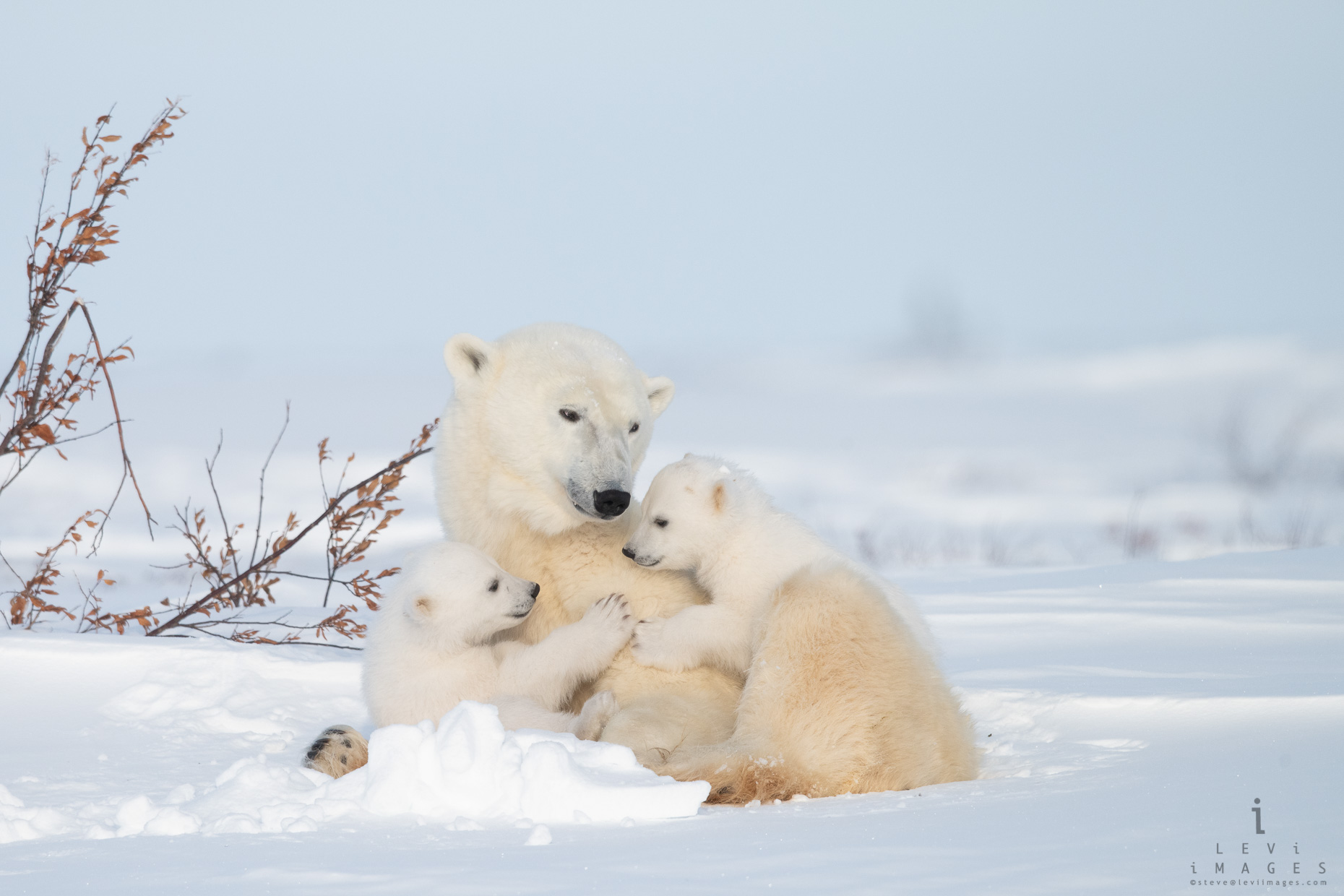 Polar Bear cubs and mom portrait 1